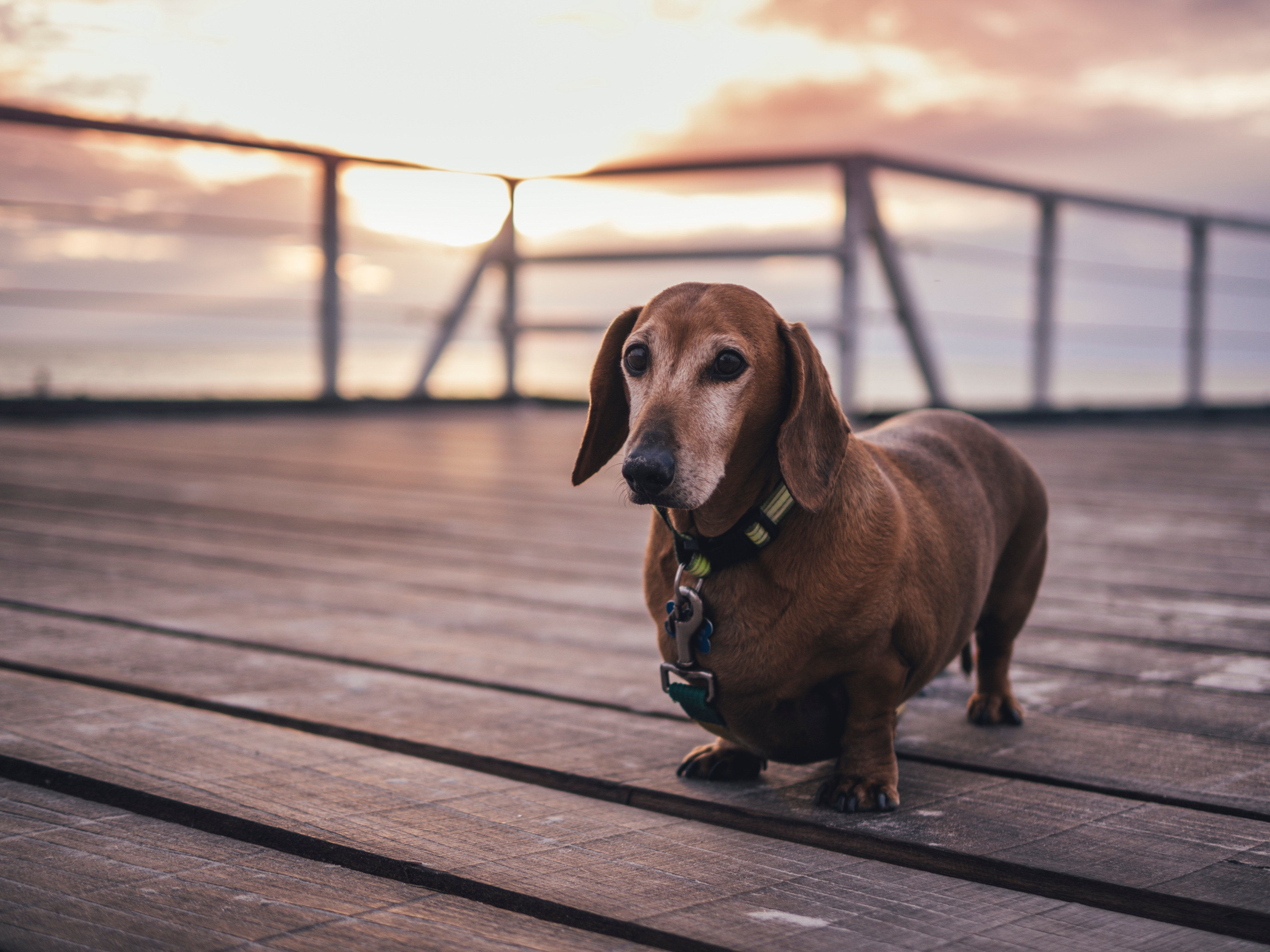150748 Screensavers and Wallpapers Collar for phone. Download Animals, Dog, Stroll, Collar, Dachshund pictures for free