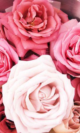 44575 télécharger le fond d'écran Plantes, Fleurs, Roses - économiseurs d'écran et images gratuitement