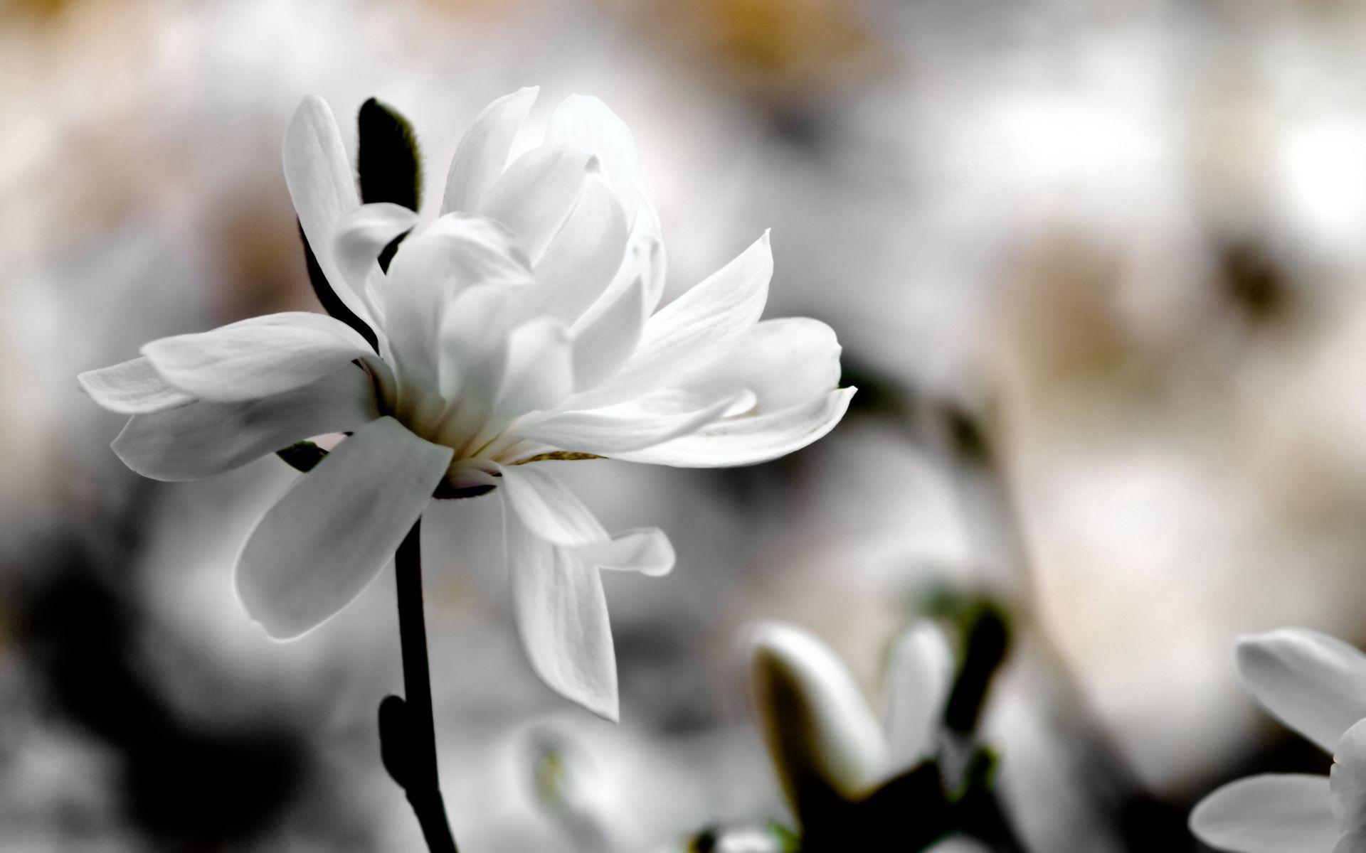 62114 скачать обои Цветы, Магнолия, Цветок, Лепестки, Белый, Размытость - заставки и картинки бесплатно