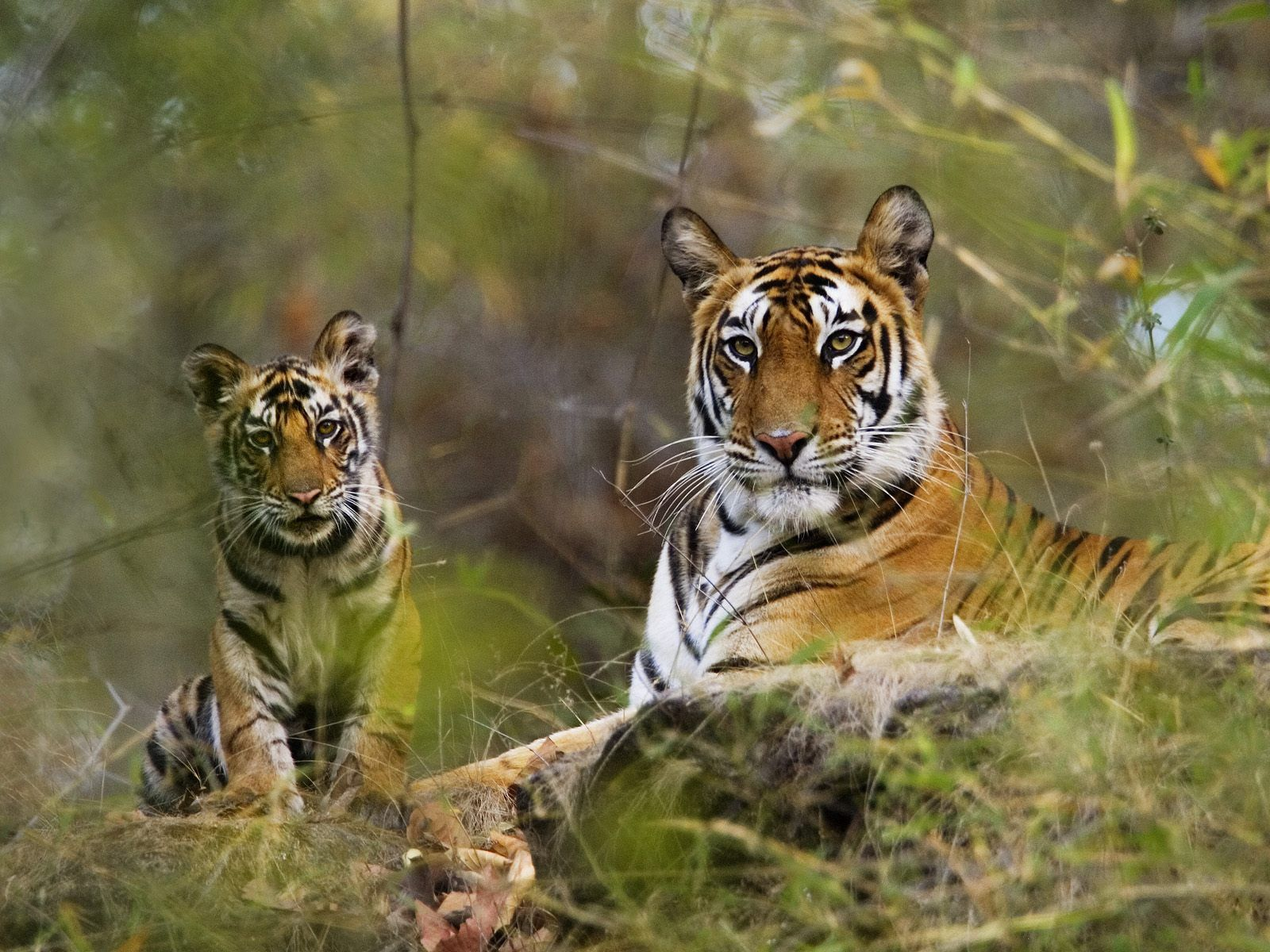 139028 Screensavers and Wallpapers Predators for phone. Download Animals, Grass, Tigers, Predators, Couple, Pair, To Lie Down, Lie, Relaxation, Rest, Big Cats pictures for free