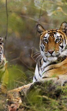 139028壁紙のダウンロード動物, カップル, 双, 草, 横になります, 嘘, リラクゼーション, 休む, 大きな猫, ビッグキャッツ, 捕食者, 捕食 者, 阪神タイガース-スクリーンセーバーと写真を無料で