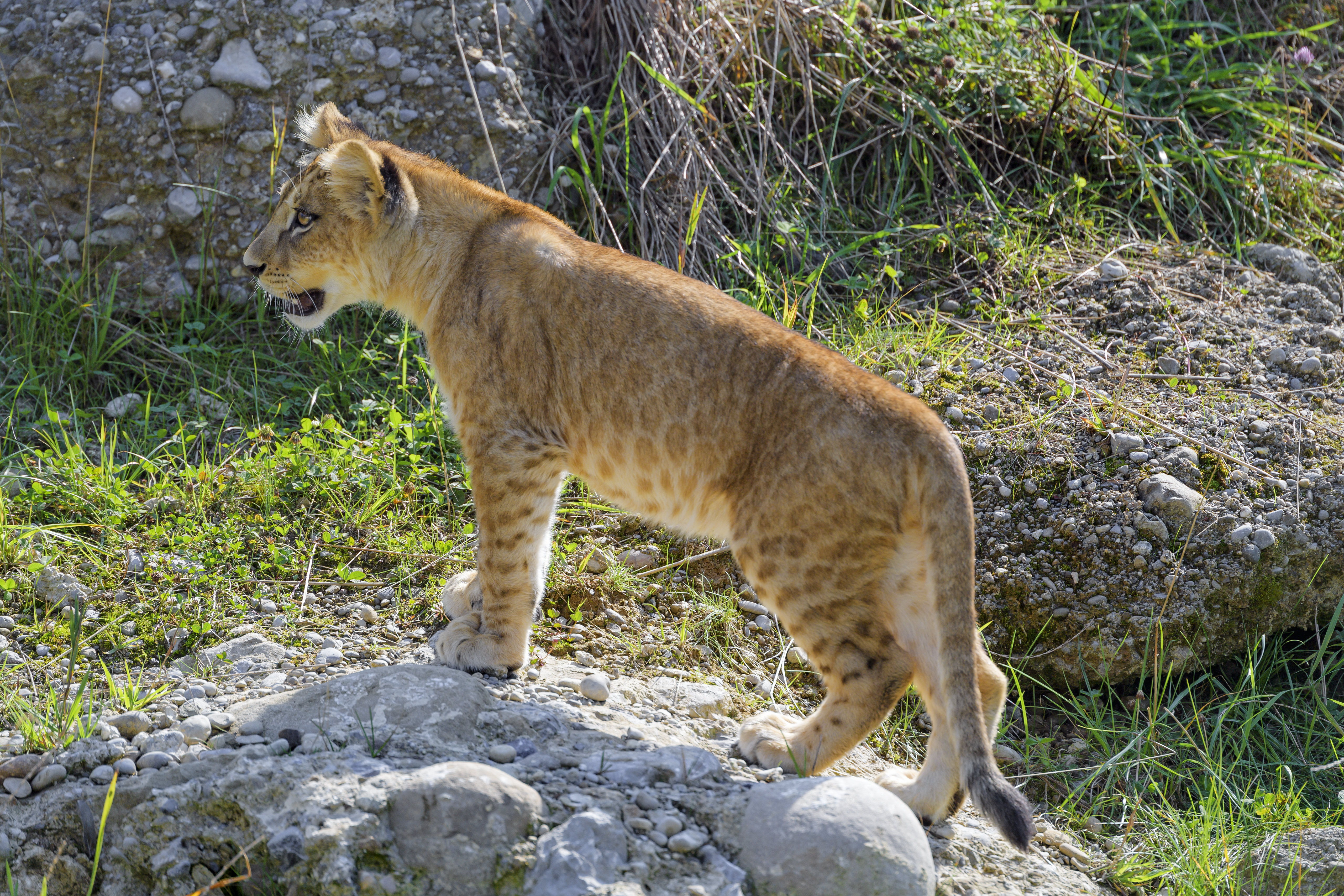 107240 download wallpaper Animals, Lioness, Big Cat, Sight, Opinion, Predator, Profile screensavers and pictures for free