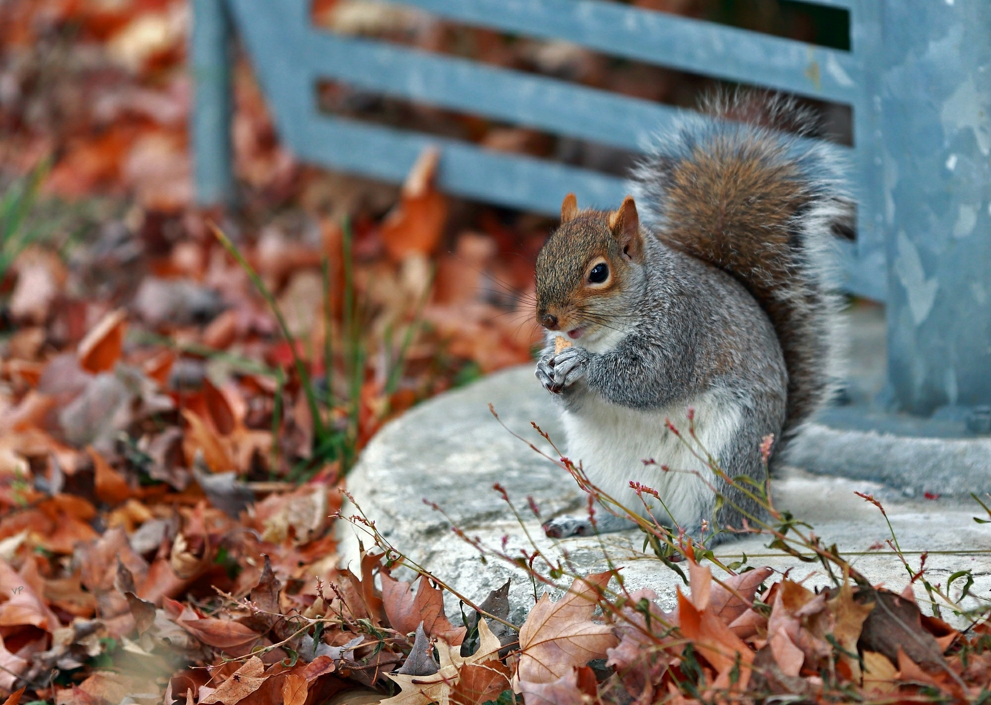 97482 Screensavers and Wallpapers Squirrel for phone. Download Animals, Squirrel, Grass, Autumn, Leaves, Park pictures for free