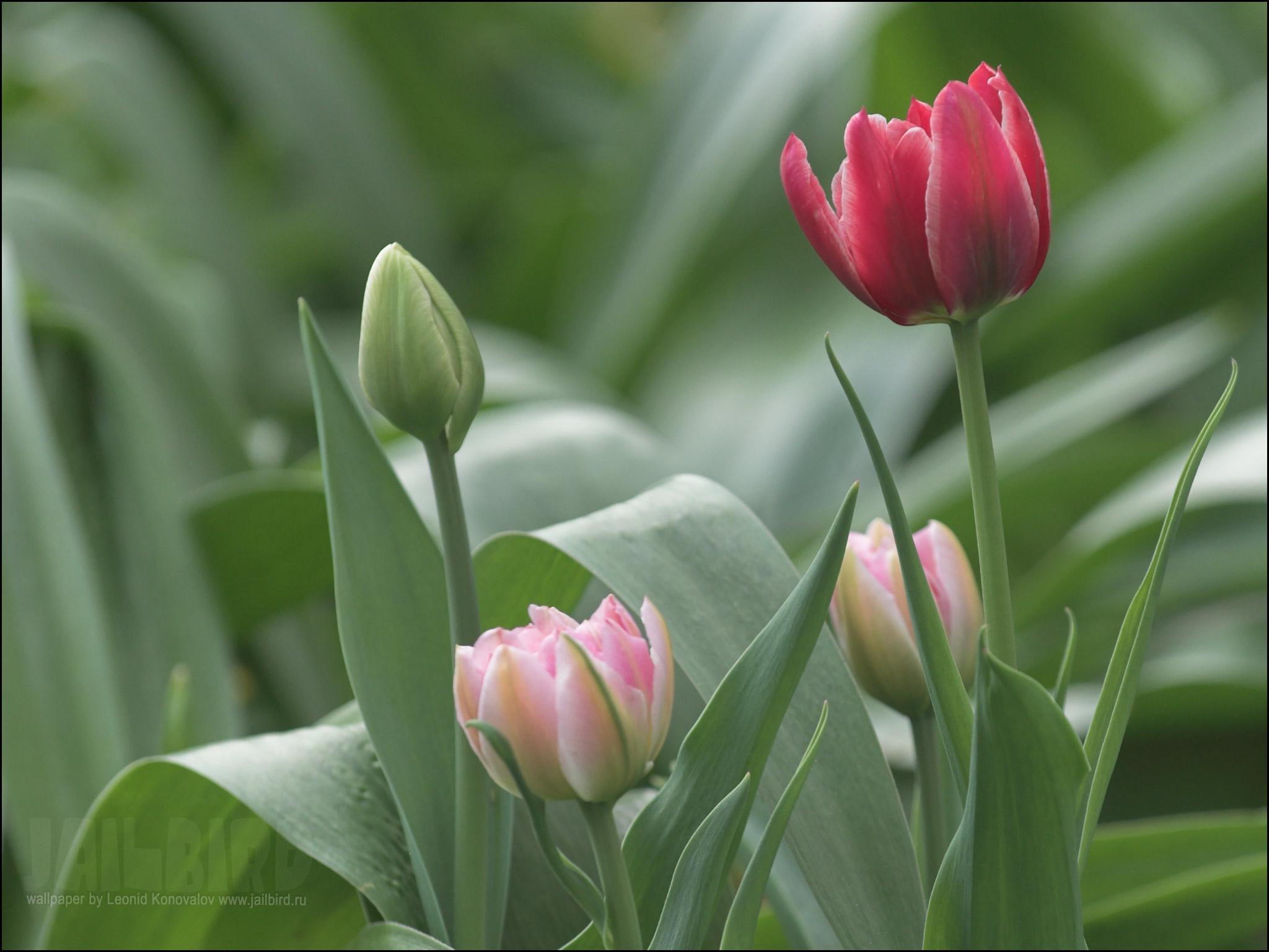 16829 скачать обои Растения, Цветы, Тюльпаны - заставки и картинки бесплатно