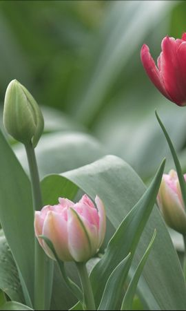 16829 download wallpaper Plants, Flowers, Tulips screensavers and pictures for free