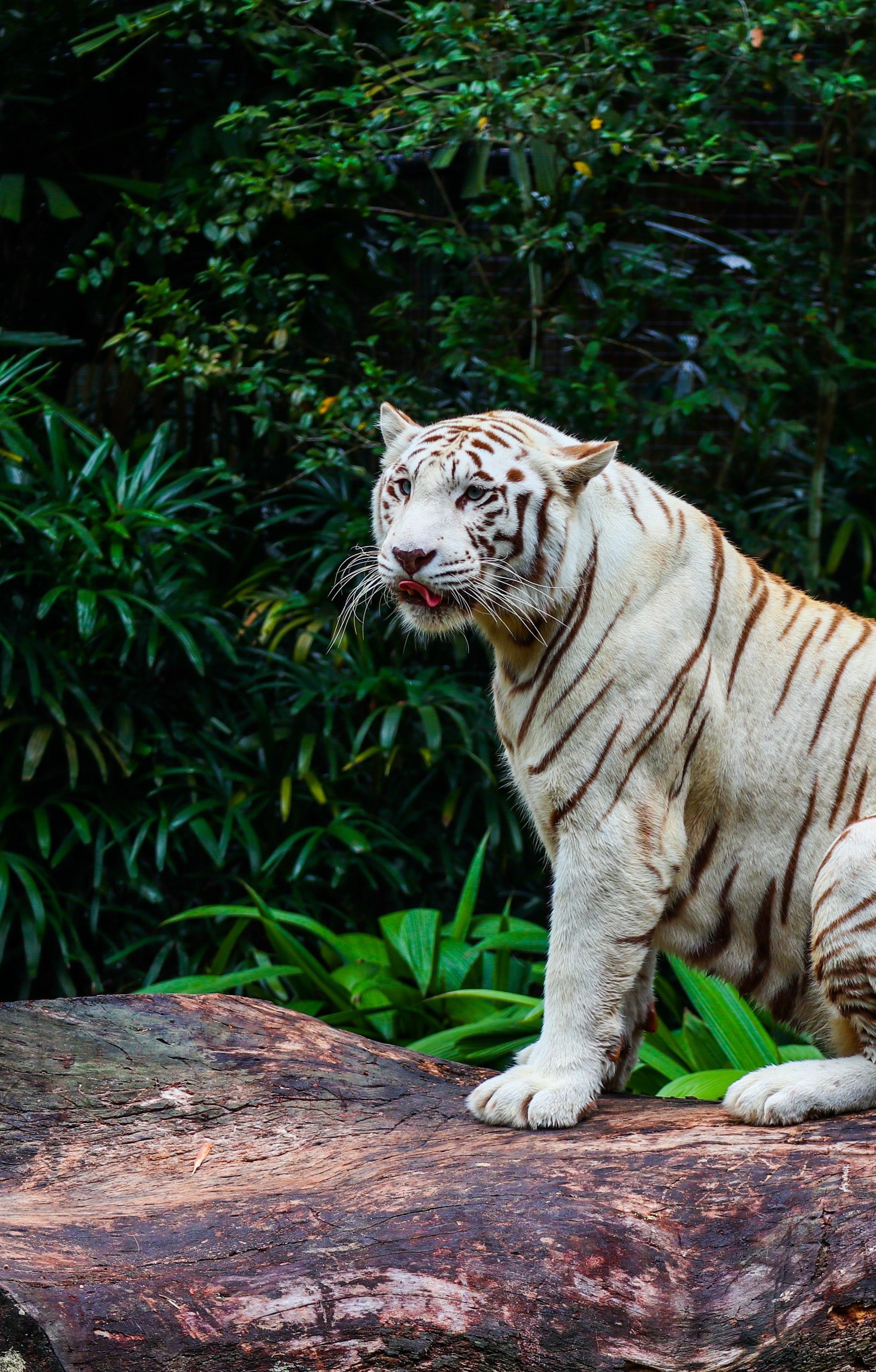 89594 download wallpaper Animals, Bengal Tiger, Tiger, Predator, Big Cat, Animal screensavers and pictures for free