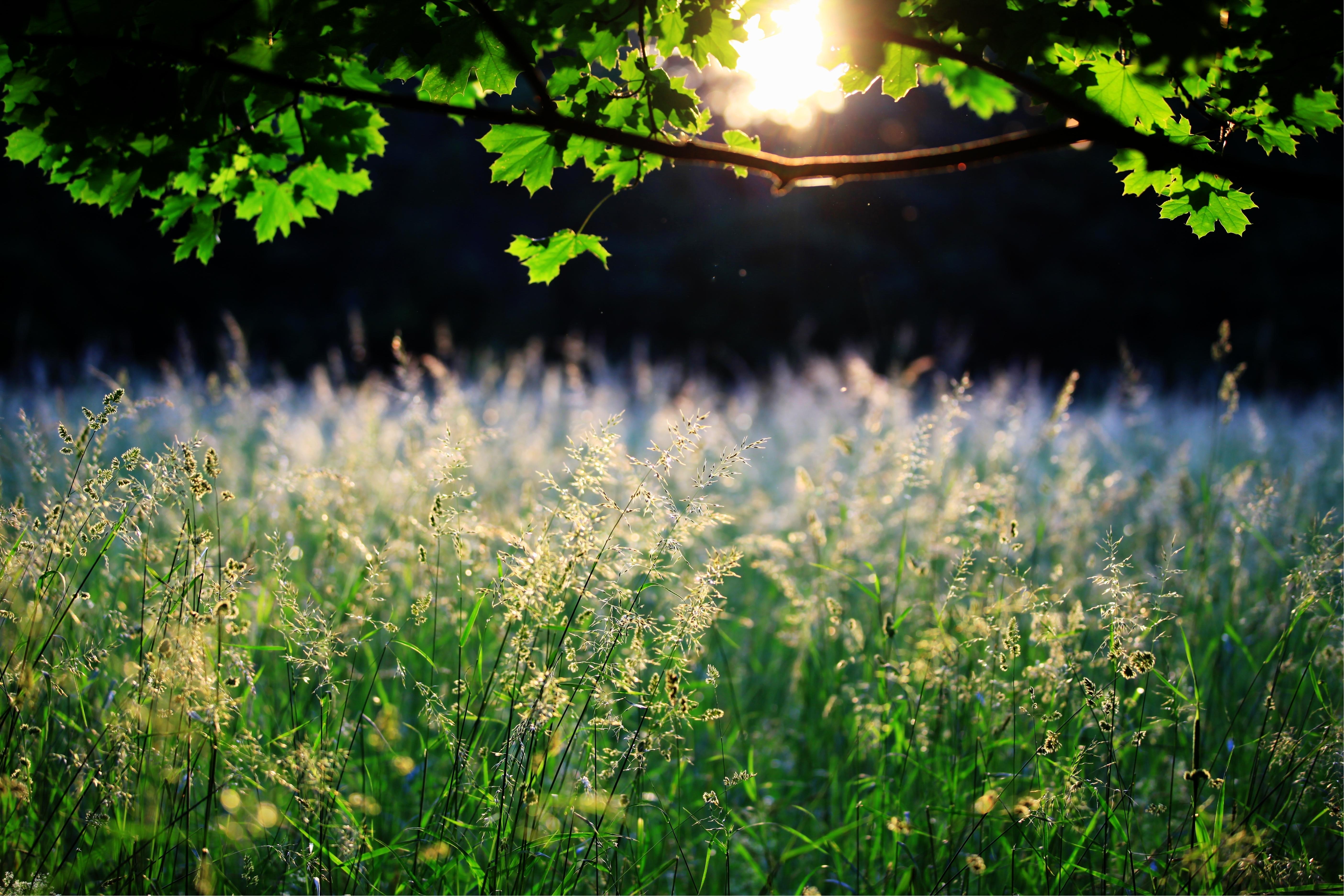 96234 Заставки и Обои Солнце на телефон. Скачать Солнце, Природа, Трава, Листья, Свет, Ветка, Клен, Колосья картинки бесплатно