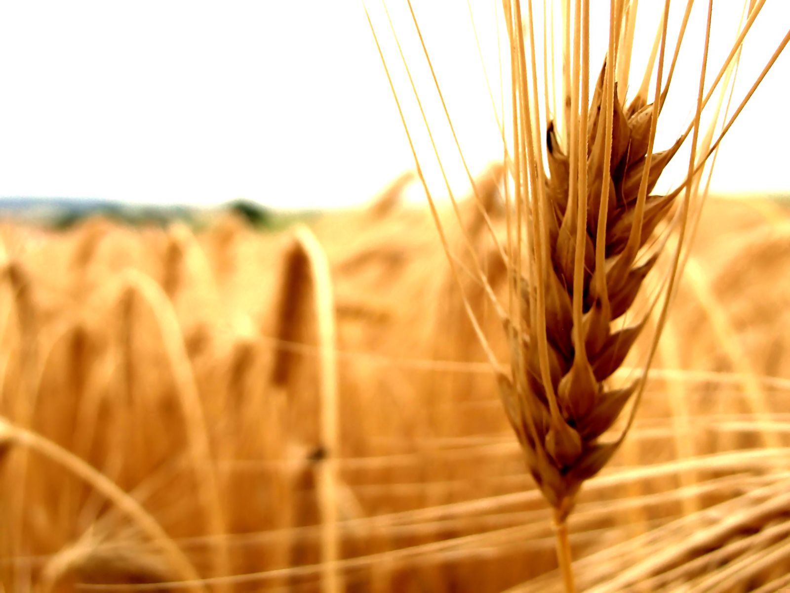 140907 Screensavers and Wallpapers Agriculture for phone. Download Macro, Cereals, Ear, Agriculture, Cereal pictures for free