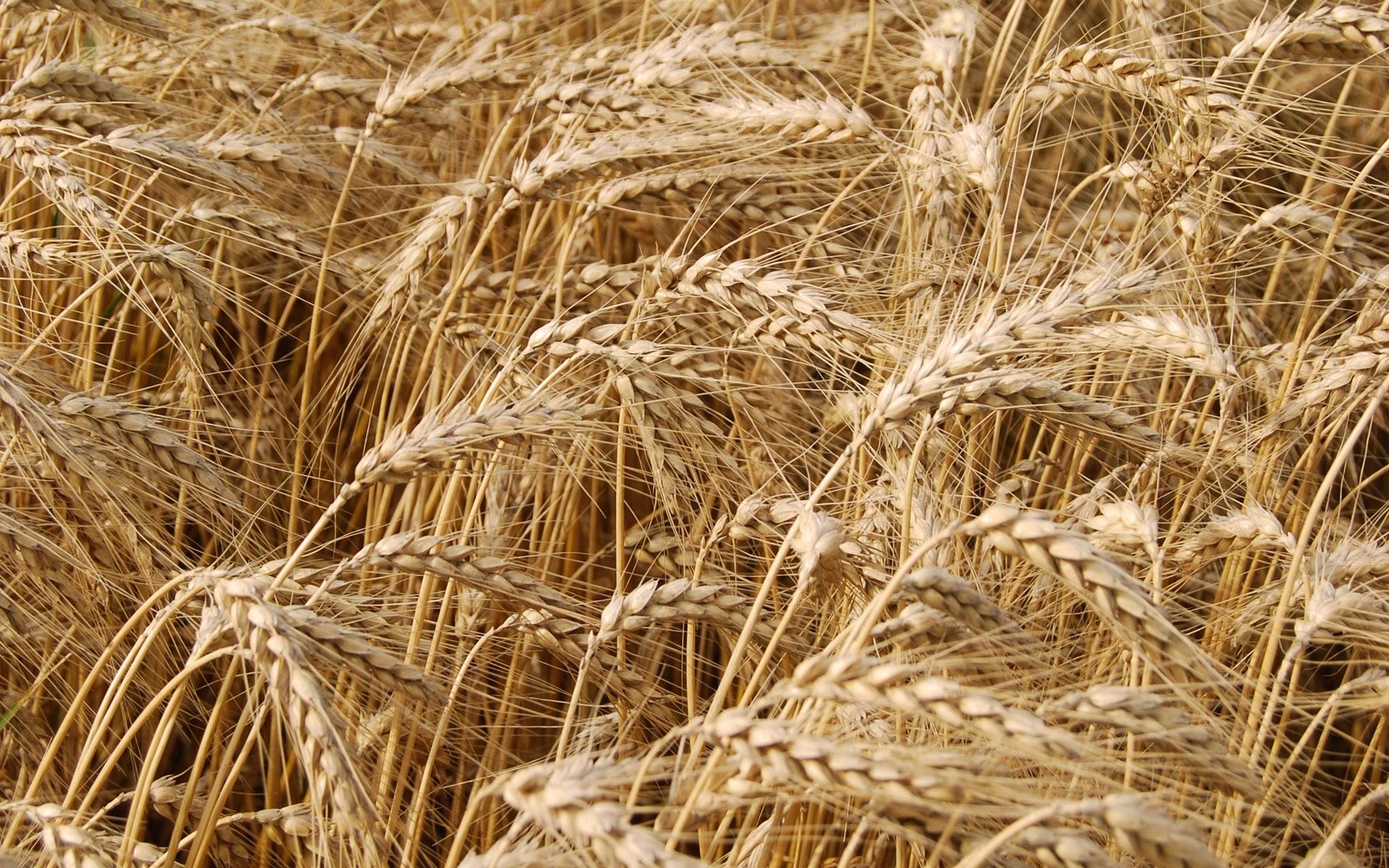 46521 скачать обои Растения, Пшеница - заставки и картинки бесплатно