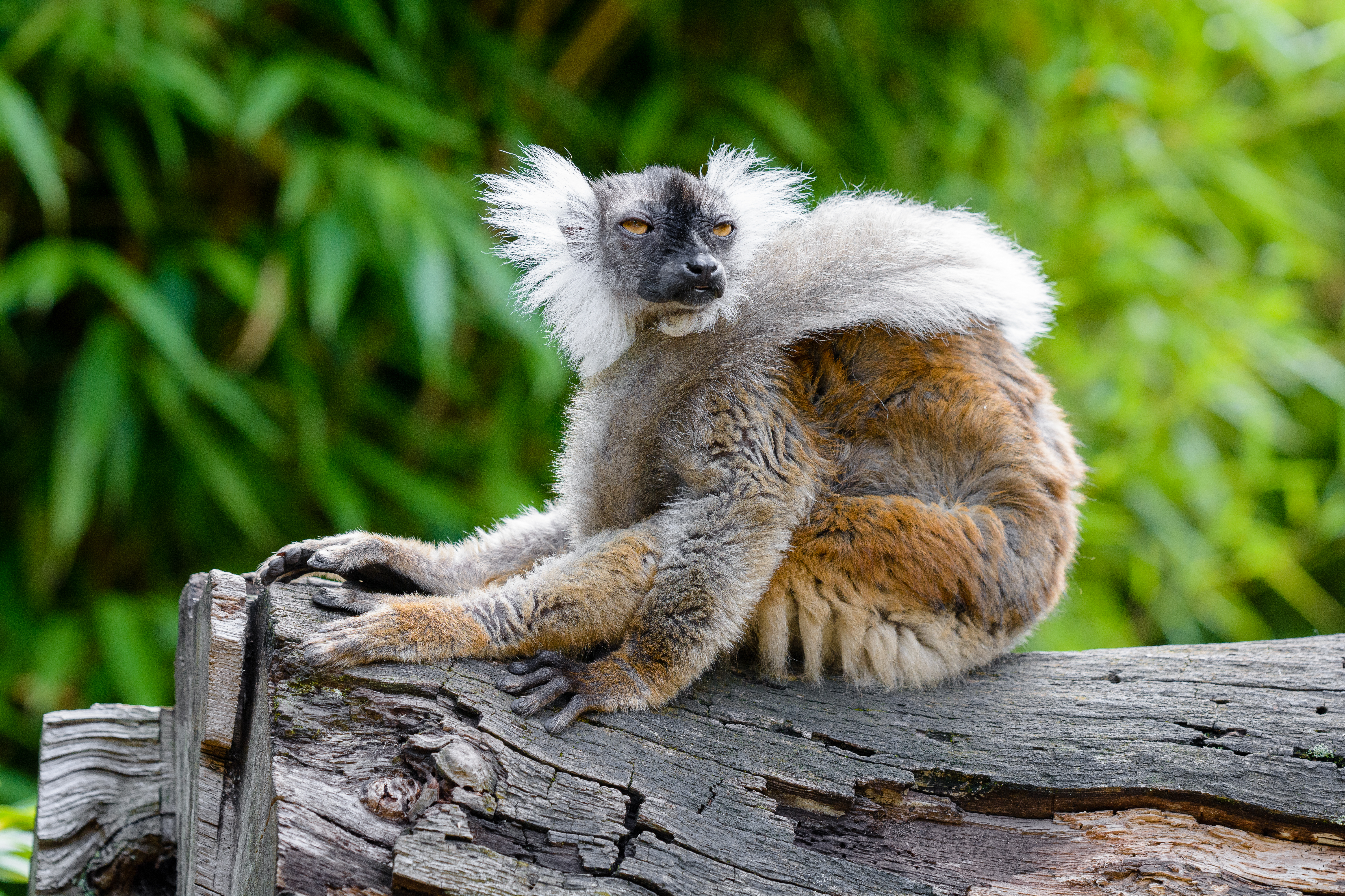 92370 download wallpaper Animals, Lemur, Sight, Opinion, Funny, Animal, Wildlife screensavers and pictures for free
