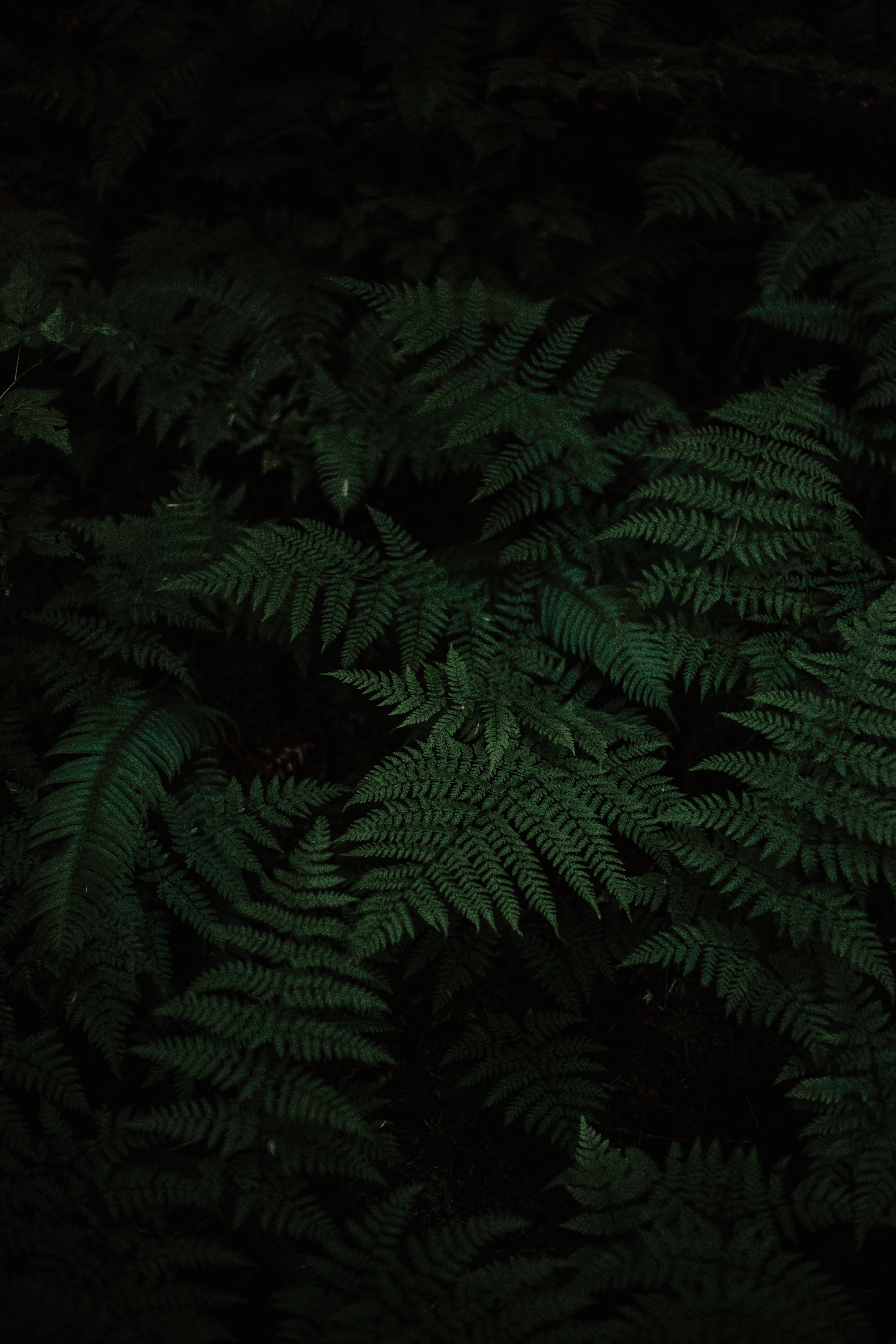 151558 download wallpaper Leaves, Nature, Plant, Fern, Carved screensavers and pictures for free