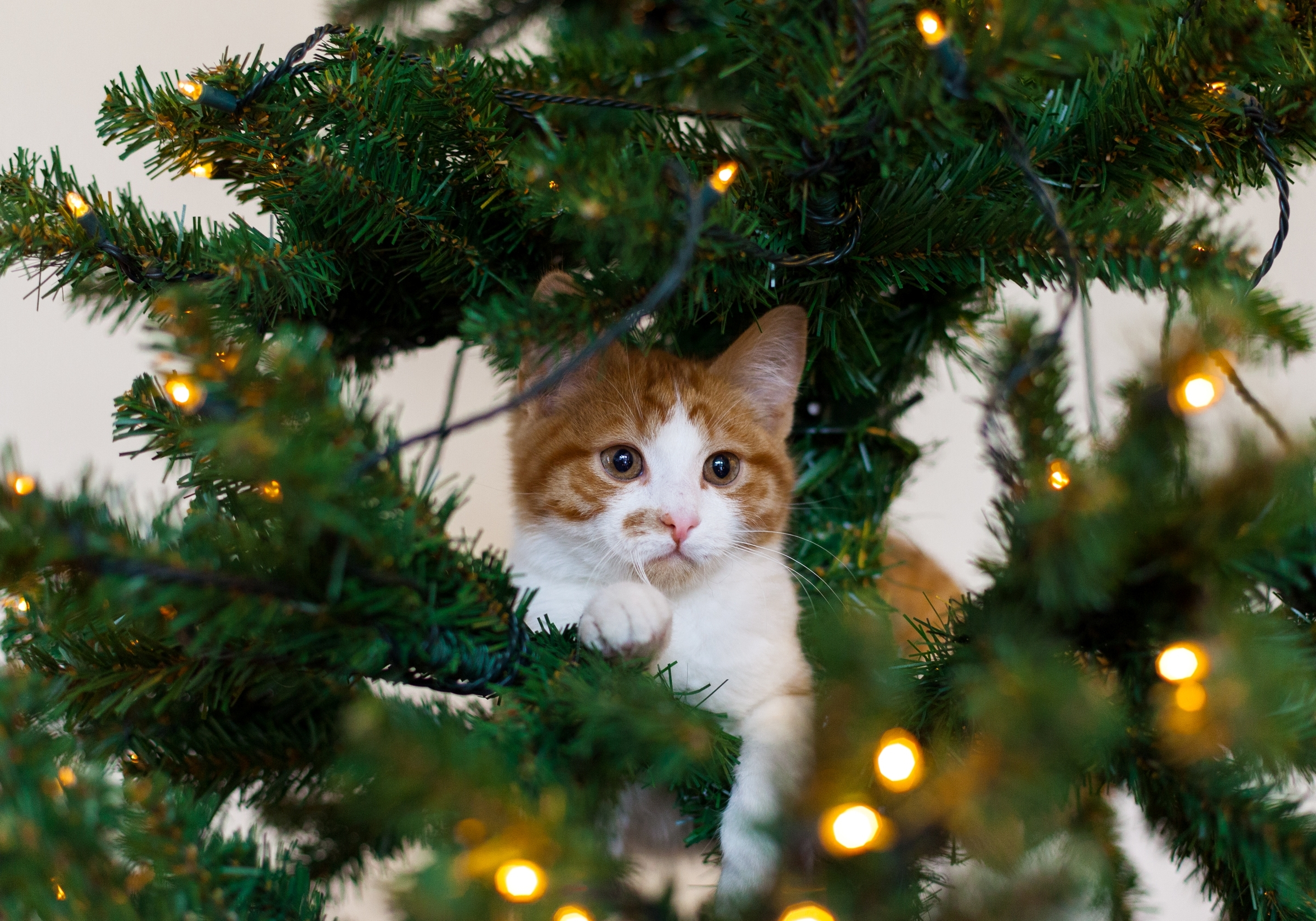 113915 Hintergrundbild herunterladen Tiere, Der Kater, Katze, Kätzchen, Spielerisch, Spielerische, Weihnachtsbaum - Bildschirmschoner und Bilder kostenlos