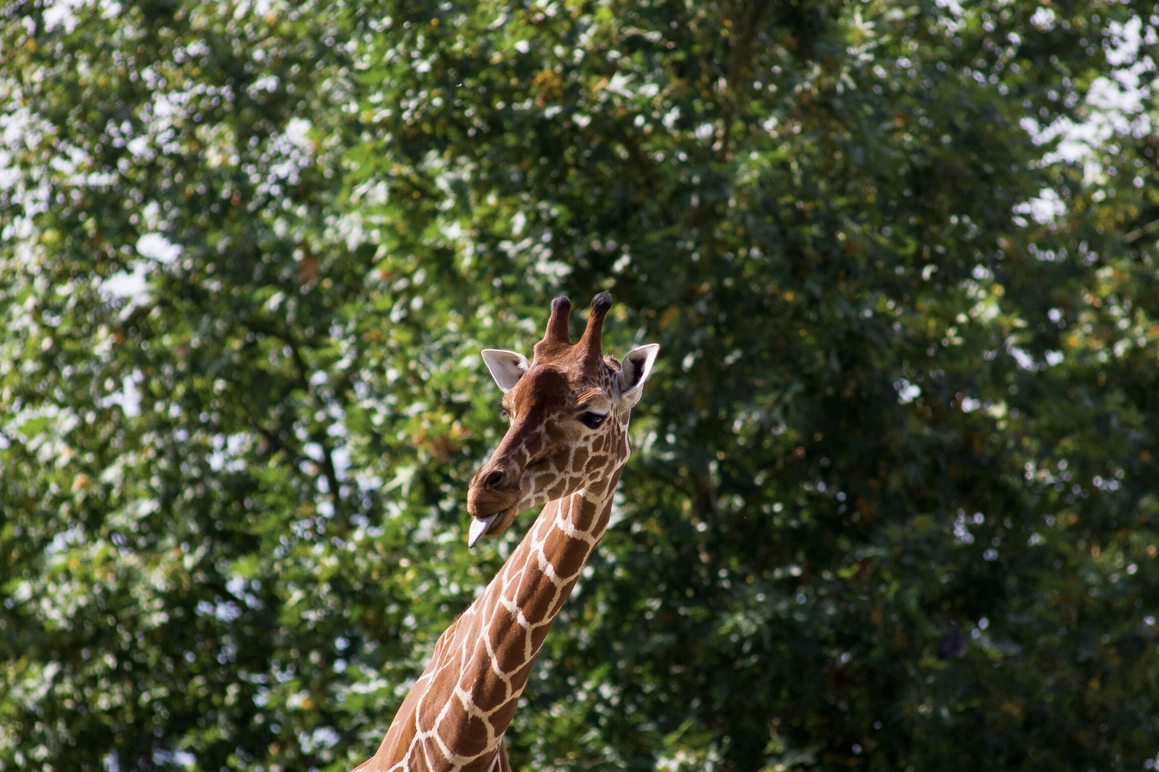 51077 download wallpaper Animals, Giraffe, Cool, Protruding Tongue, Tongue Stuck Out screensavers and pictures for free