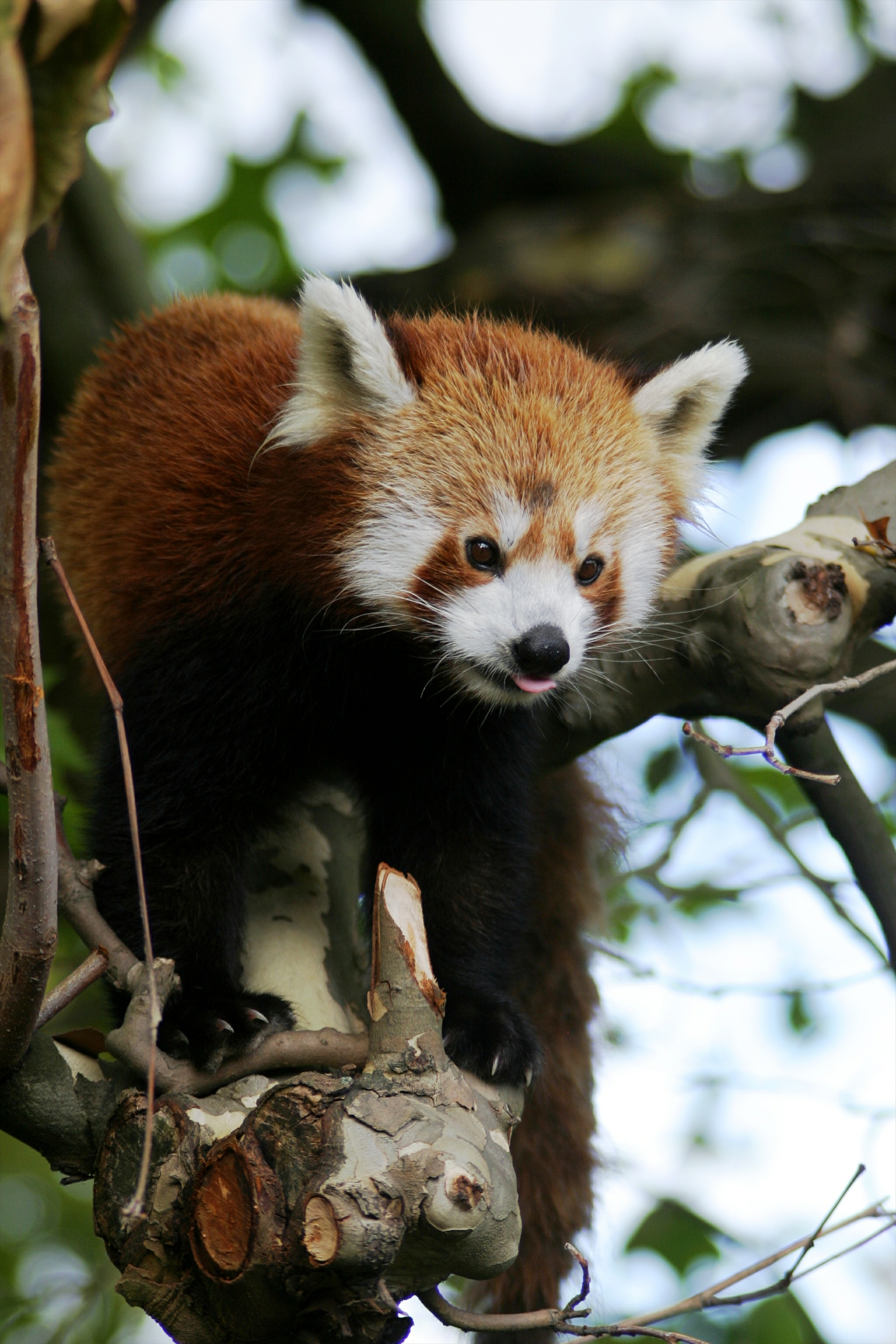 148277 download wallpaper Animals, Red Panda, Animal, Protruding Tongue, Tongue Stuck Out, Trees screensavers and pictures for free
