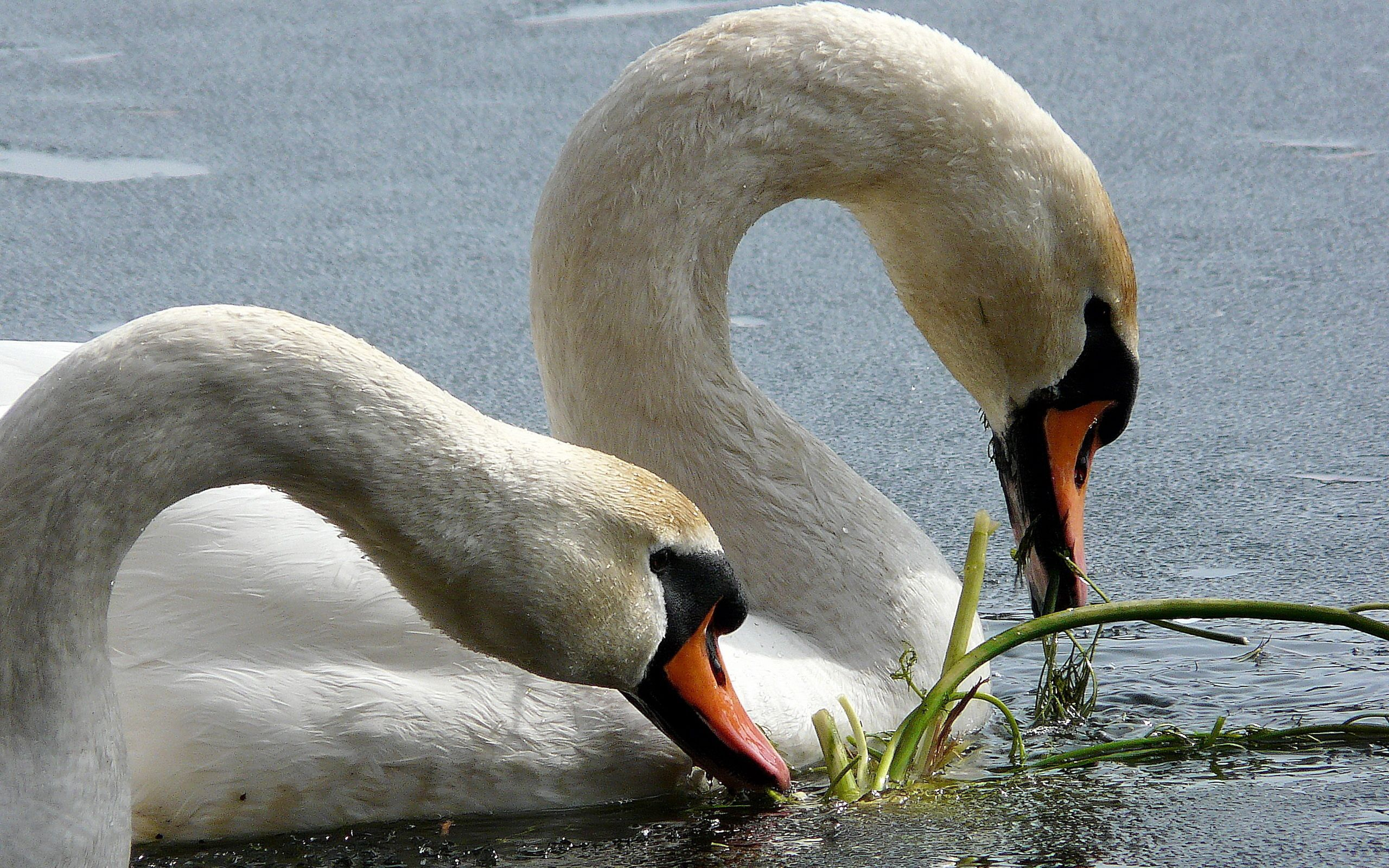 50855 download wallpaper Animals, Swans, Beak, Water, Birds screensavers and pictures for free
