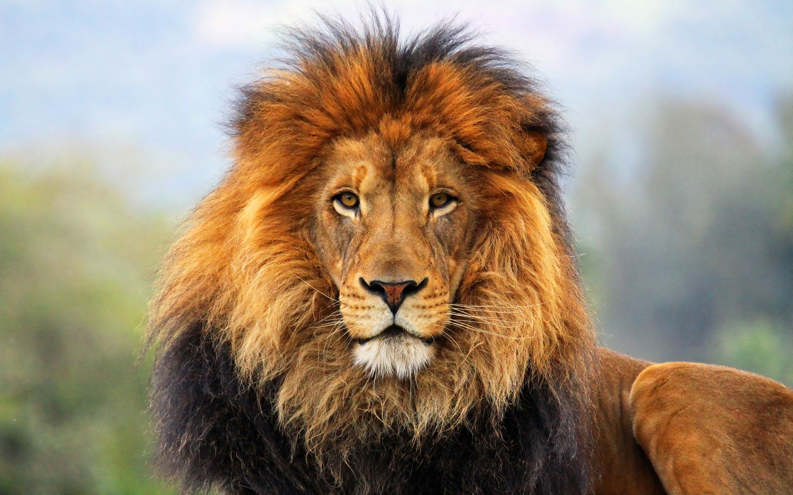 79761 скачать обои Животные, Лев, Грива, Взгляд, Ожидание, Большая Кошка, Хищник, Царь, Зверей - заставки и картинки бесплатно