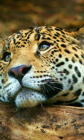 3890 download wallpaper Animals, Leopards screensavers and pictures for free