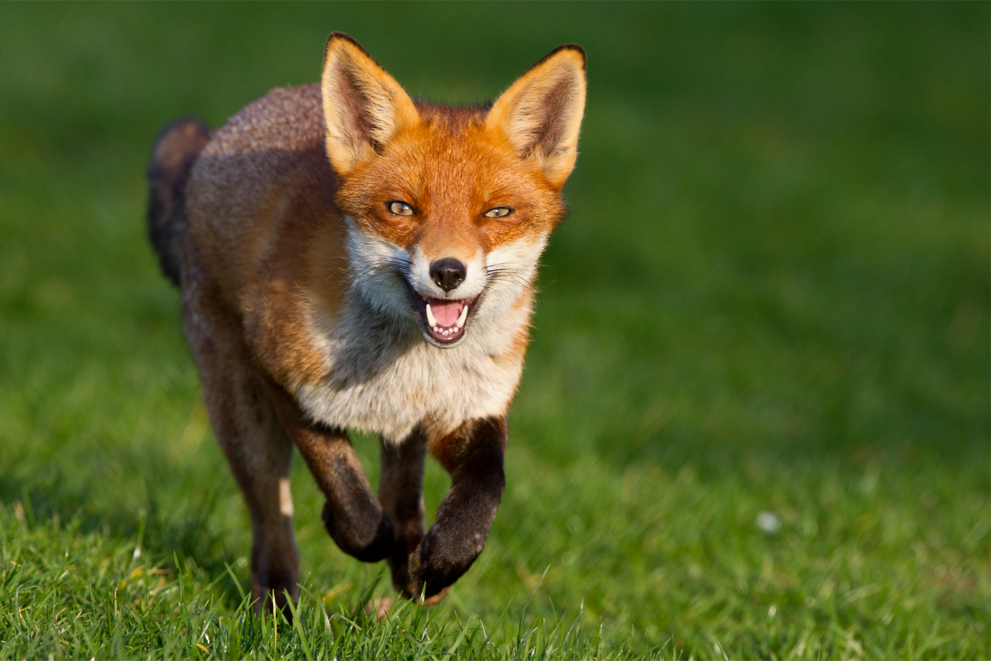 65386 download wallpaper Animals, Fox, Grass, Stroll, Run Away, Run screensavers and pictures for free