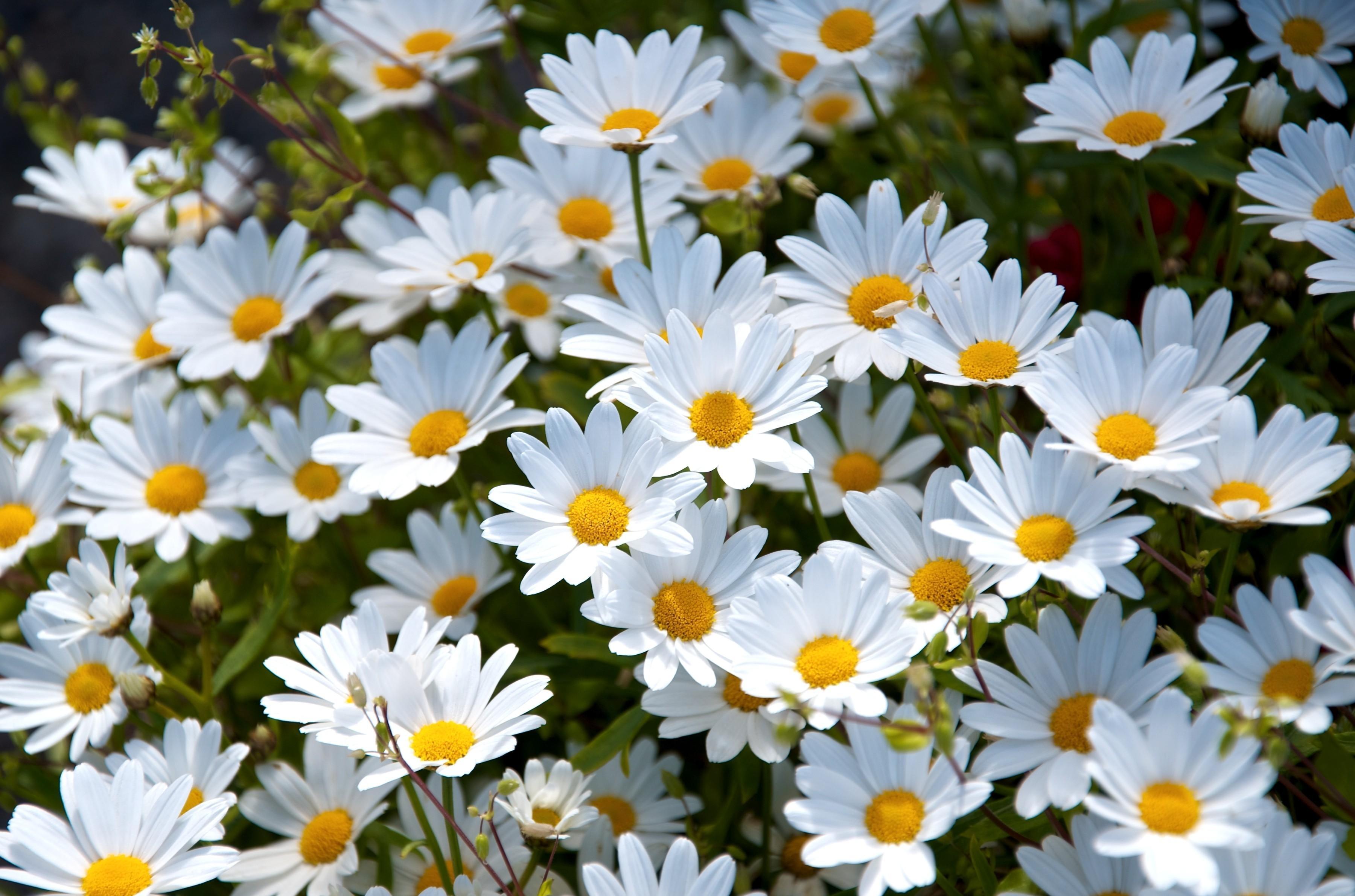 92002 скачать обои Цветы, Ромашки, Лето, Настроение, Поляна - заставки и картинки бесплатно