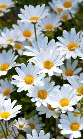 92002 скачать Белые обои на телефон бесплатно, Цветы, Ромашки, Поляна, Лето, Настроение Белые картинки и заставки на мобильный