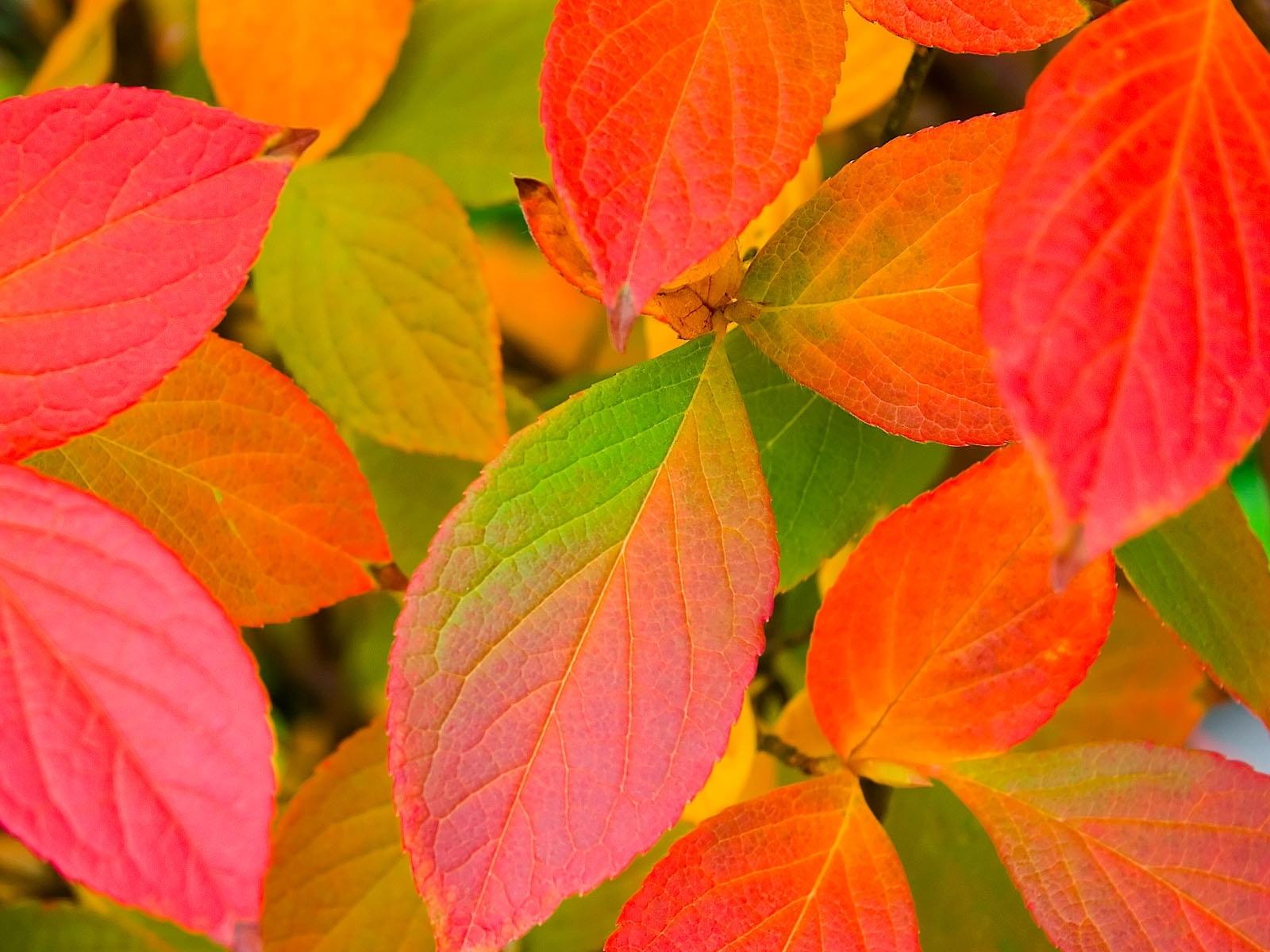4921 скачать обои Растения, Фон, Осень, Листья - заставки и картинки бесплатно