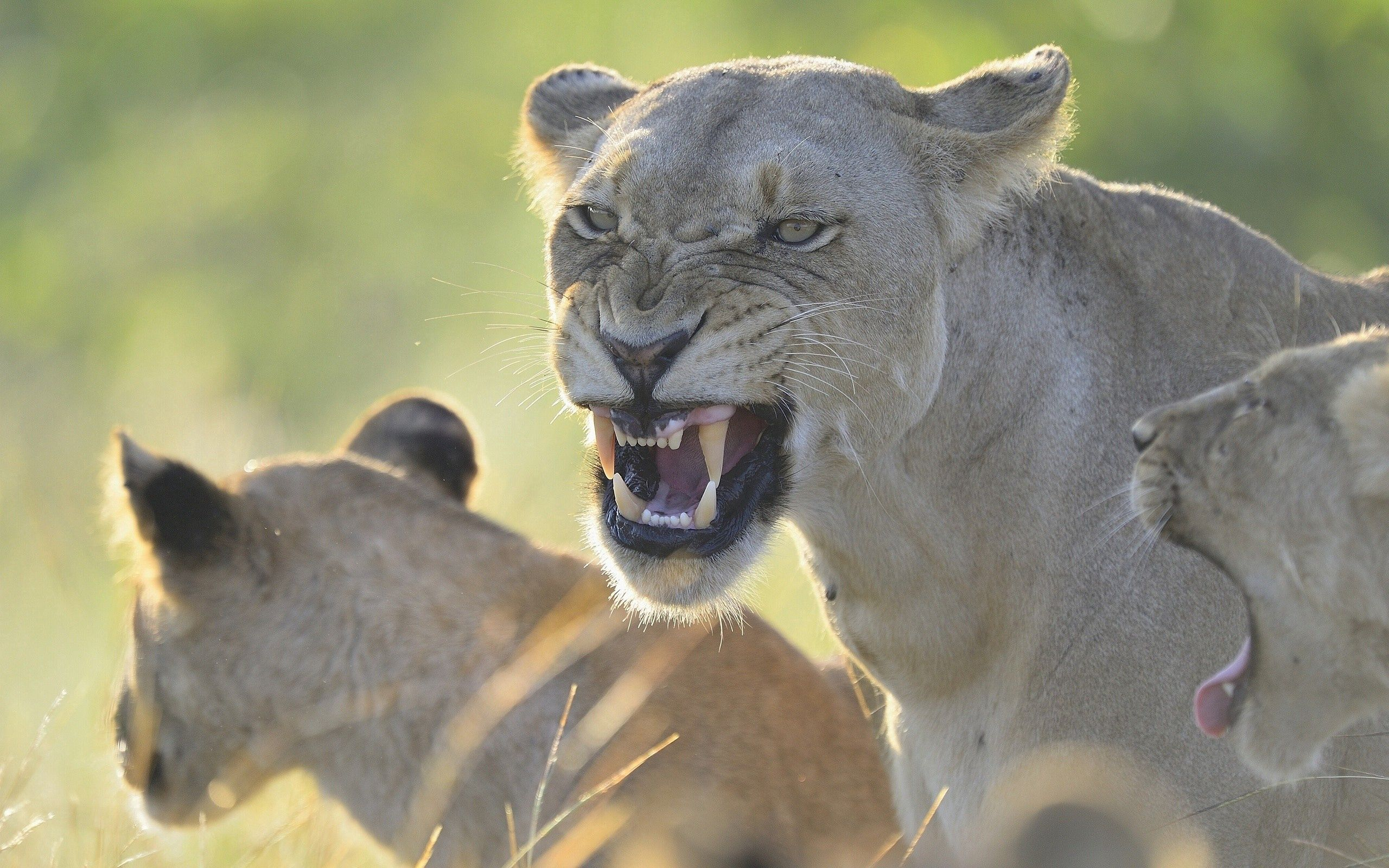 96706 download wallpaper Animals, Aggression, Grin, Lion, Predator, Lioness, Anger screensavers and pictures for free