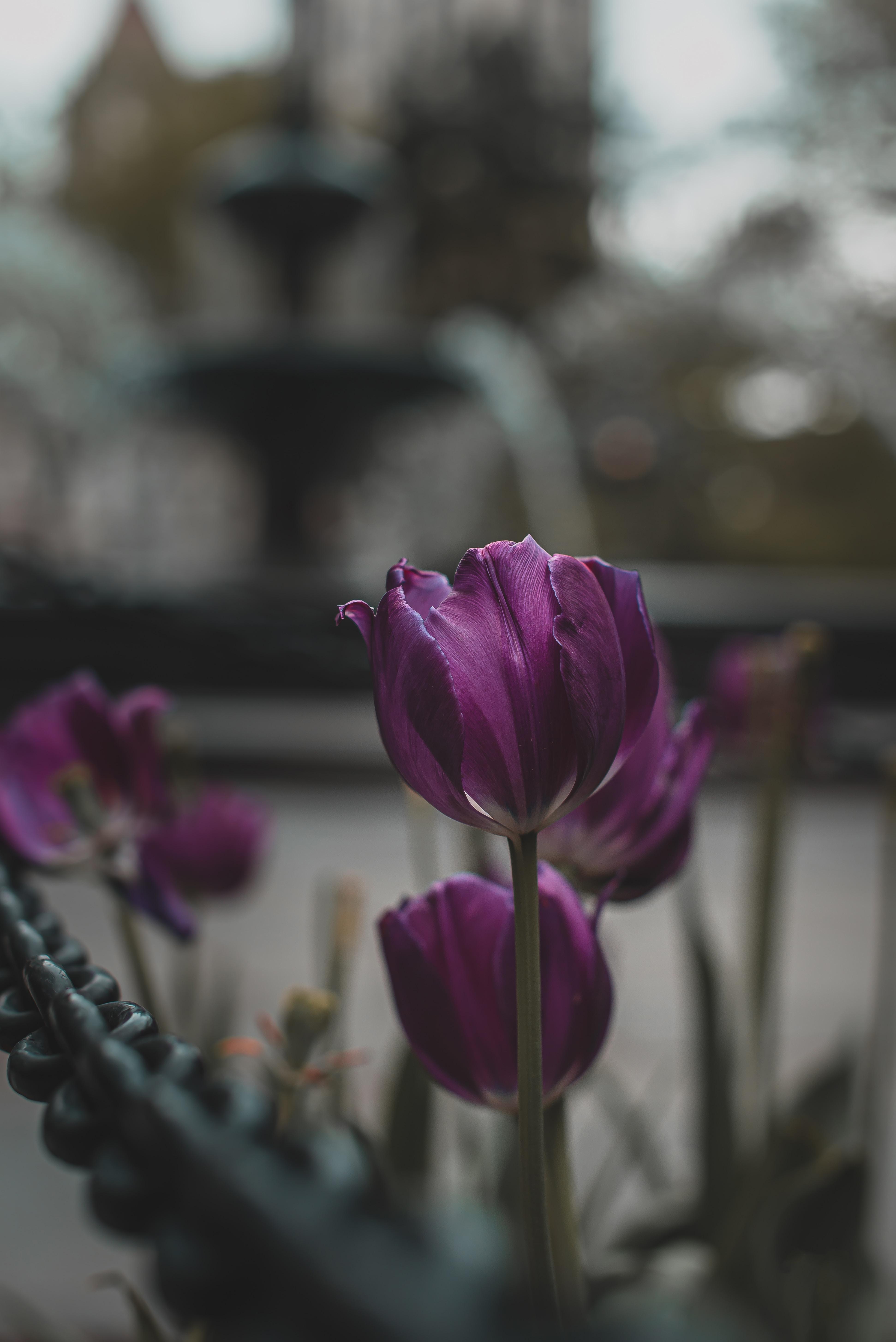 133006 скачать обои Цветы, Фиолетовый, Растения, Цветение, Тюльпаны - заставки и картинки бесплатно