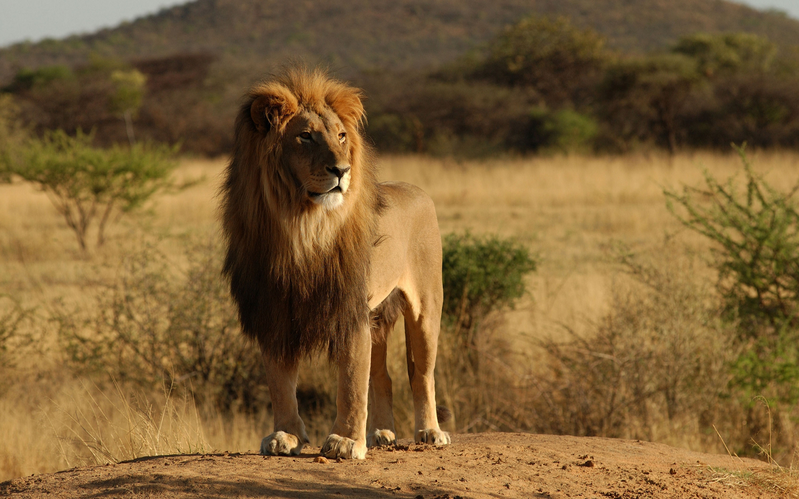 32341 download wallpaper Lions, Animals screensavers and pictures for free