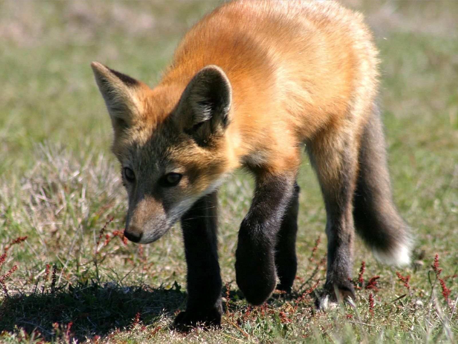 83096 download wallpaper Animals, Fox, Grass, Shadow, Stroll screensavers and pictures for free