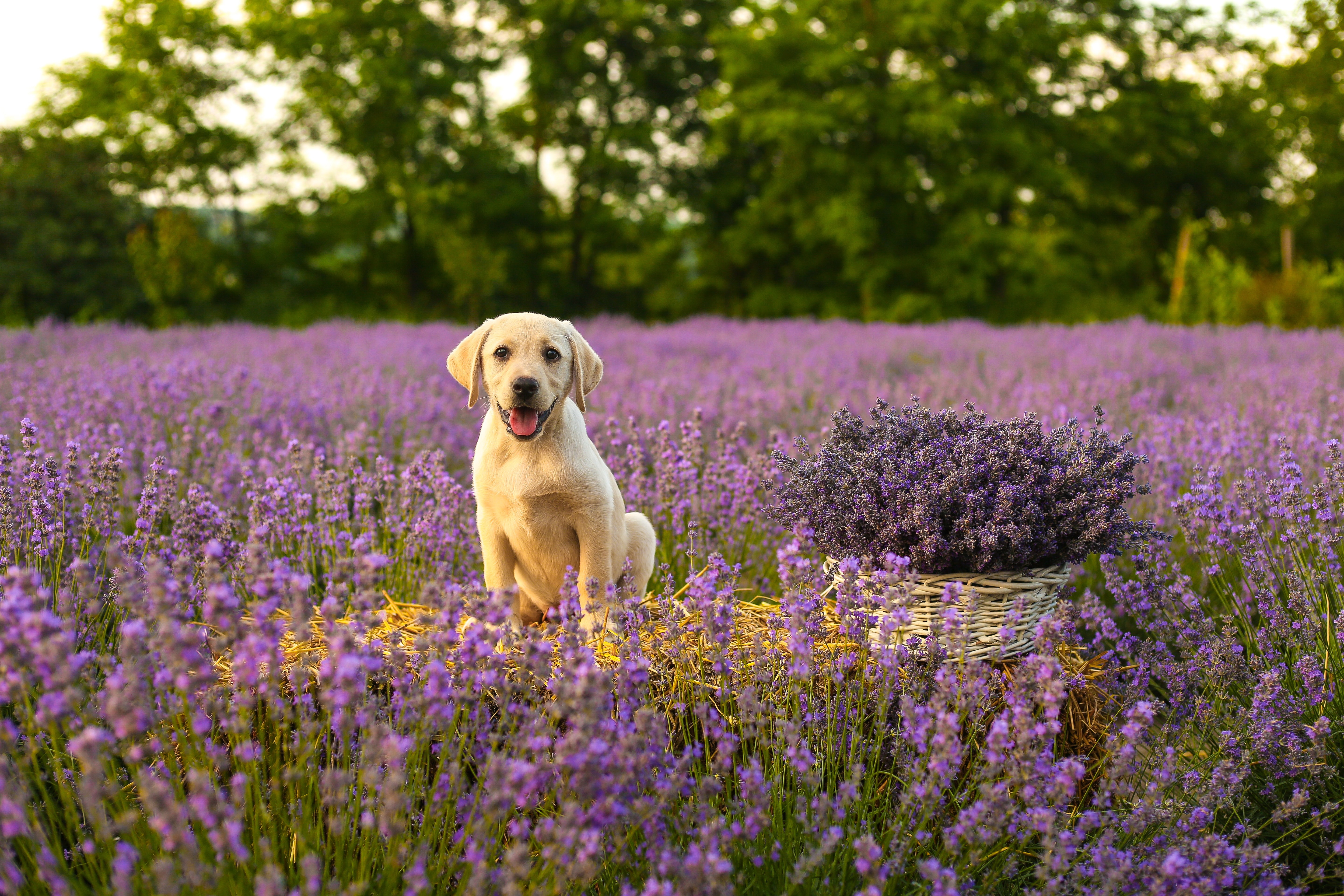 77653 download wallpaper Animals, Labrador, Dog, Puppy, Protruding Tongue, Tongue Stuck Out, Lavender screensavers and pictures for free