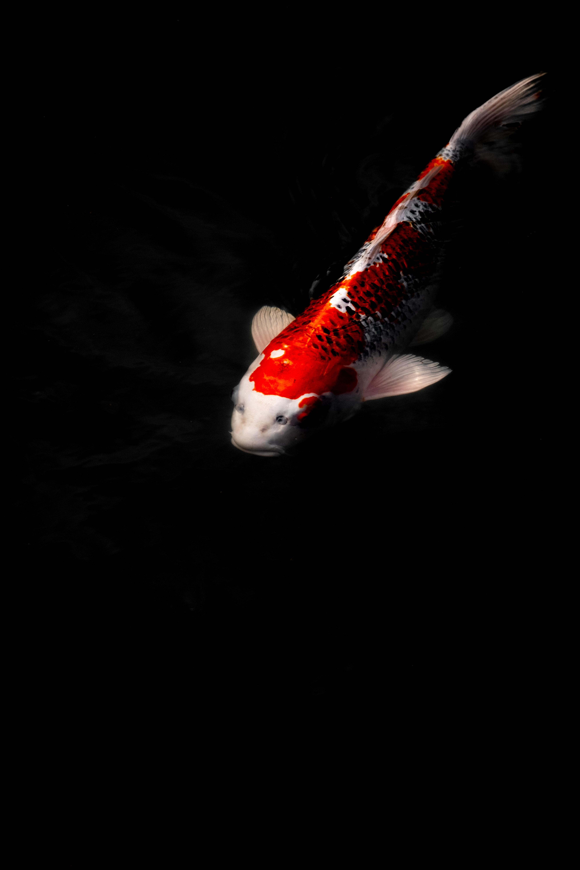 152215 скачать обои Животные, Карп Кои, Рыба, Вода, Под Водой - заставки и картинки бесплатно