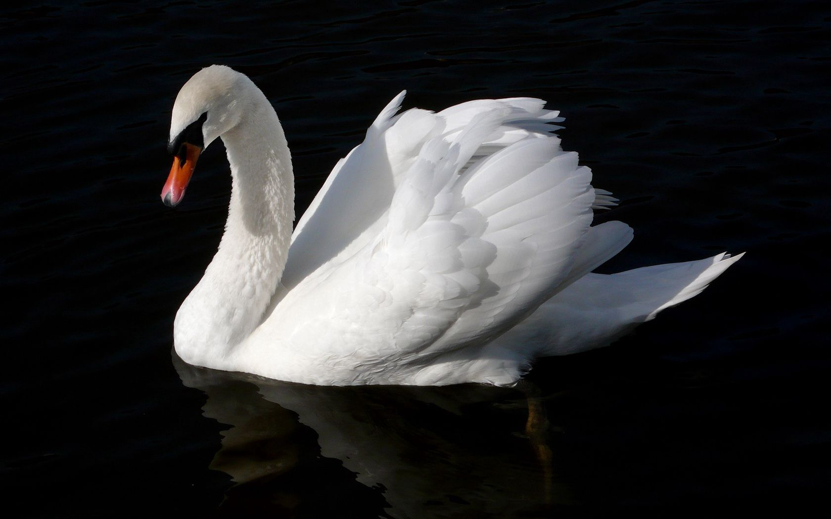 92686 download wallpaper Animals, Swan, Bird, Water, To Swim, Swim, Black Background screensavers and pictures for free