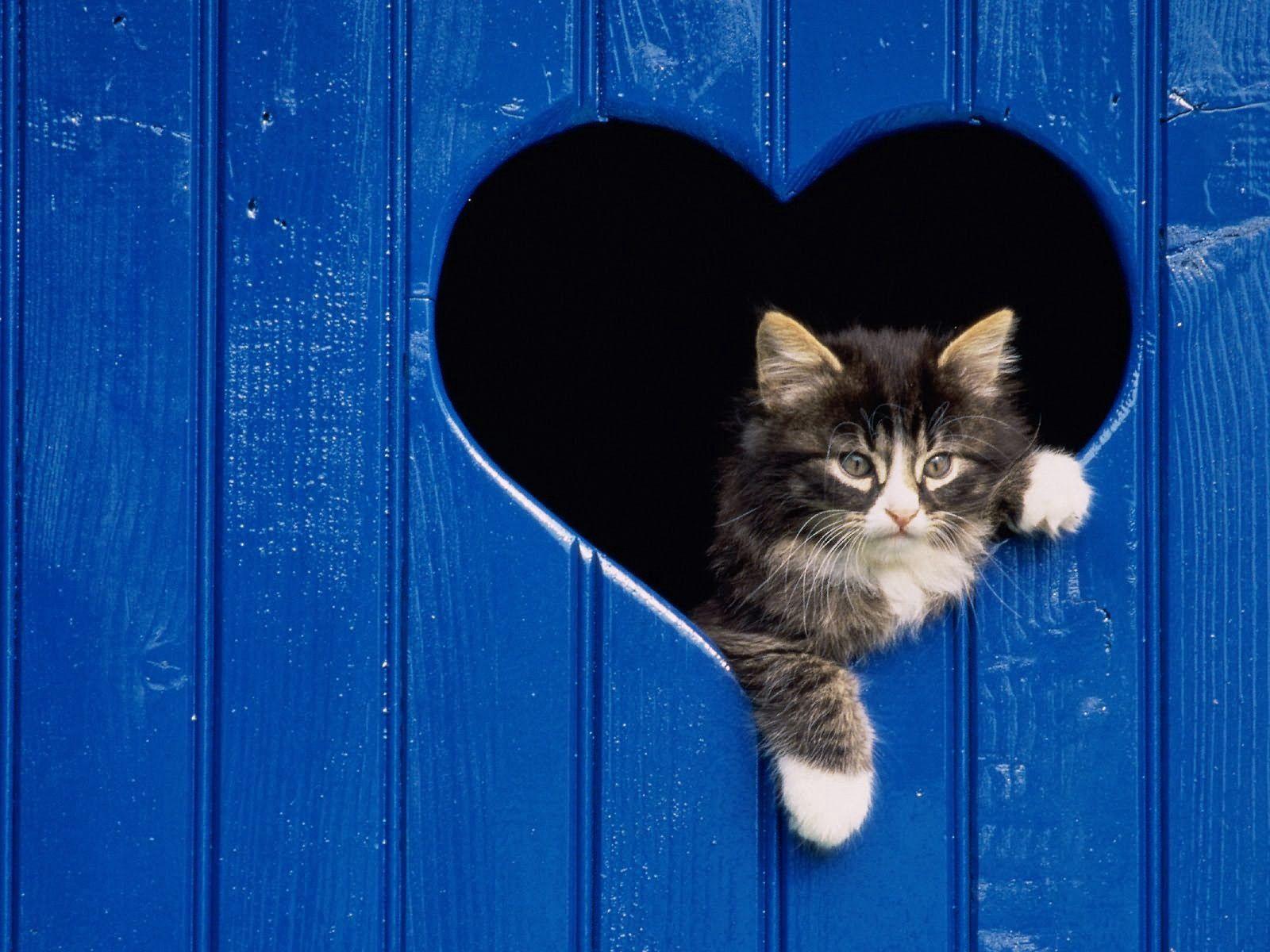 84185 Hintergrundbild 720x1280 kostenlos auf deinem Handy, lade Bilder Tiere, Herzen, Flauschige, Kätzchen, Ein Herz, Herausschauen, Achtung 720x1280 auf dein Handy herunter