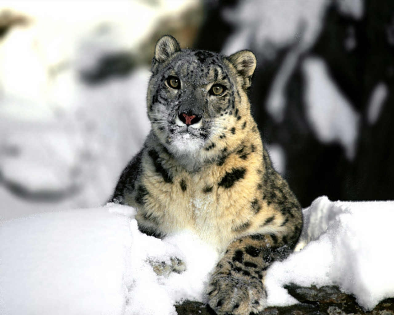 Download mobile wallpaper Snow, Animals, Snow Leopard for free.
