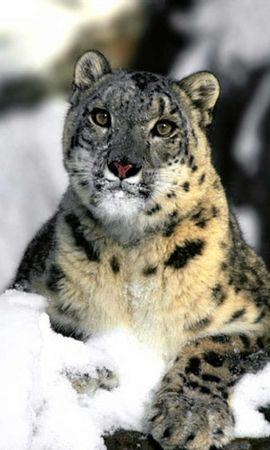 13483 download wallpaper Animals, Snow Leopard, Snow screensavers and pictures for free