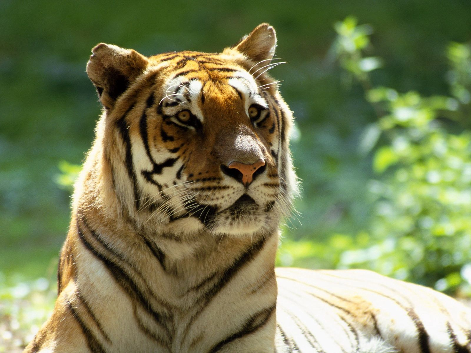 141574 download wallpaper Animals, Tiger, Big Cat, Muzzle, Striped screensavers and pictures for free