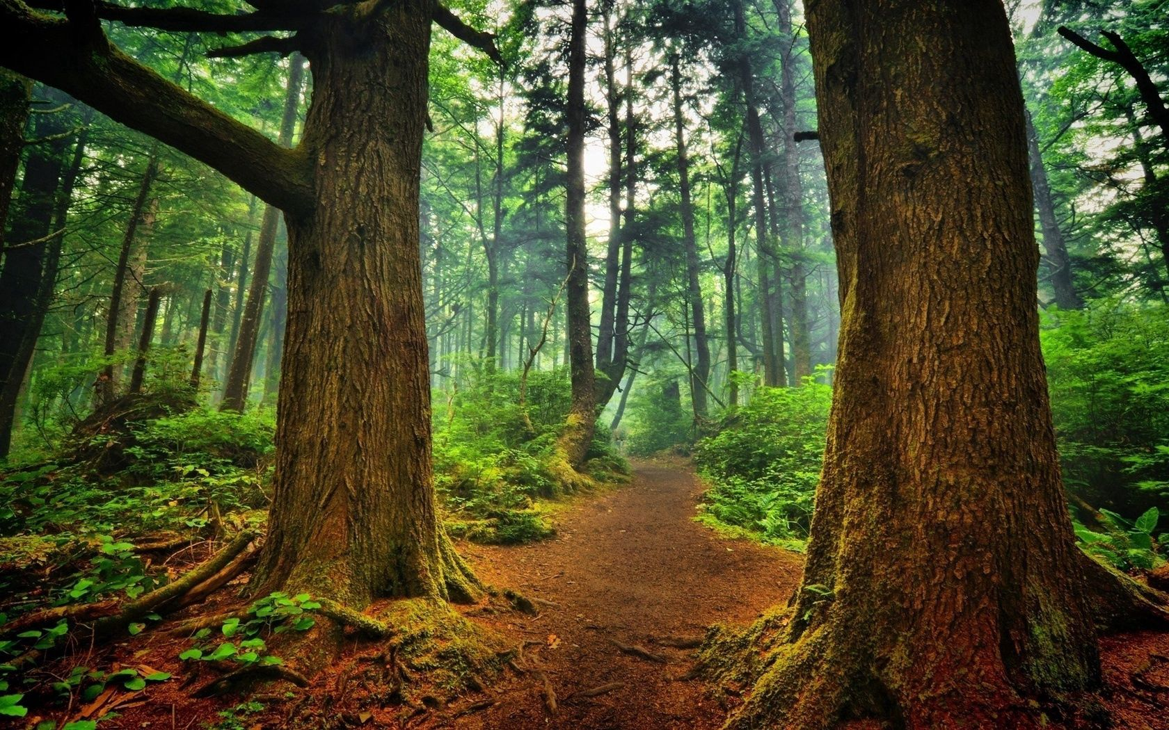 57119 download wallpaper Forest, Nature, Trees, Greens, Path, Roots, Winding, Sinuous, Mighty screensavers and pictures for free