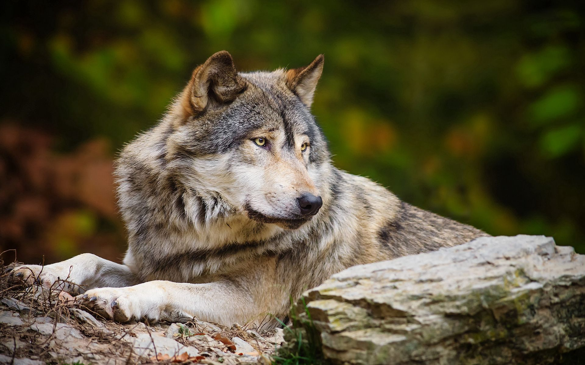 144253 download wallpaper Animals, Rock, Predator, Stone, Wolf screensavers and pictures for free