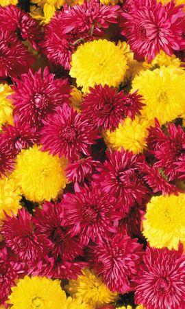 10174 скачать обои Растения, Цветы, Фон, Хризантемы - заставки и картинки бесплатно