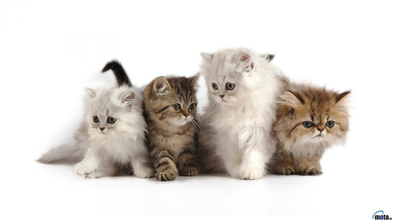 14633 download wallpaper Animals, Cats screensavers and pictures for free