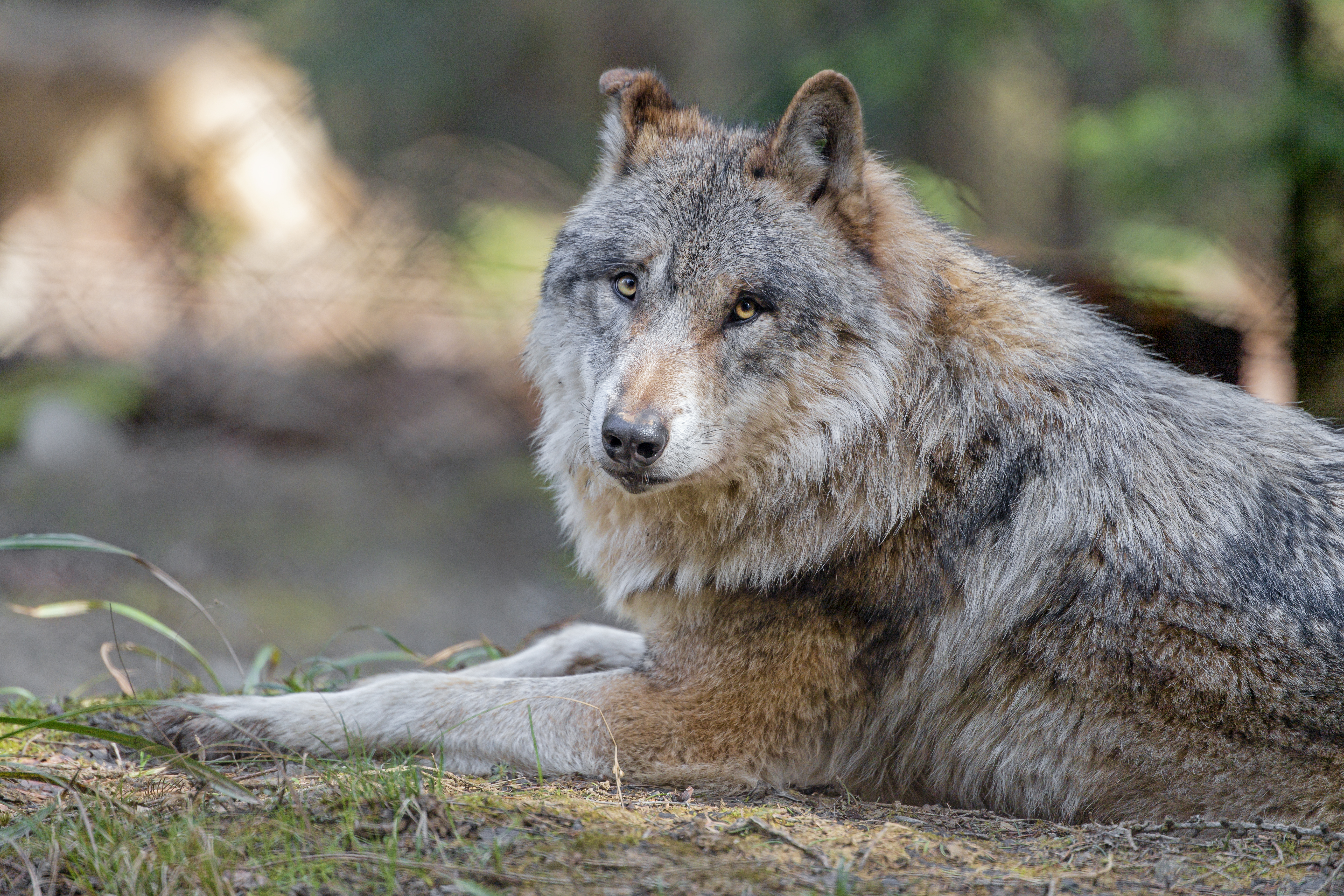 123148 download wallpaper Animals, Wolf, Predator, Animal, Sight, Opinion screensavers and pictures for free