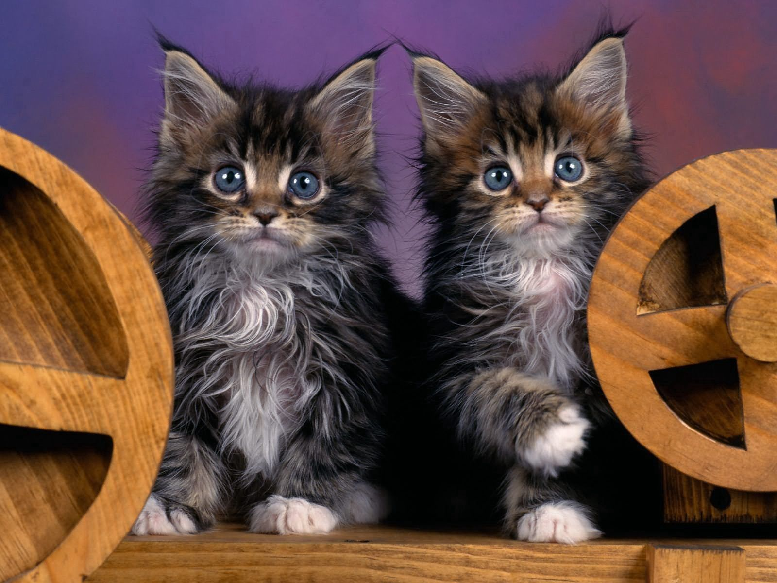 138918 Screensavers and Wallpapers Fluffy for phone. Download Animals, Fluffy, Couple, Pair, Kittens pictures for free