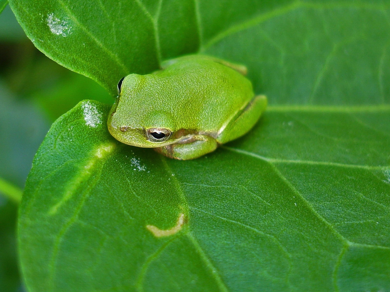 7838 download wallpaper Animals, Frogs screensavers and pictures for free