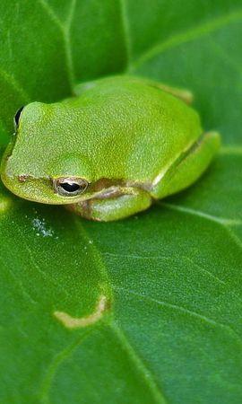 7838 baixar papel de parede Animais, Frogs - protetores de tela e imagens gratuitamente