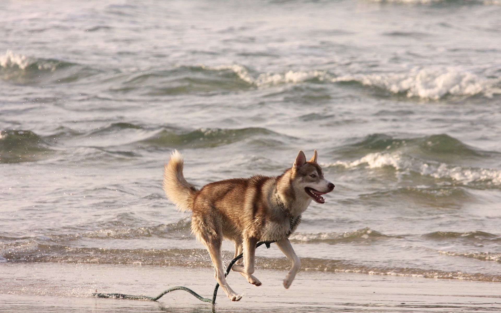 73117 Screensavers and Wallpapers Husky for phone. Download Animals, Sea, Shore, Bank, Husky, Haska, Run Away, Run pictures for free