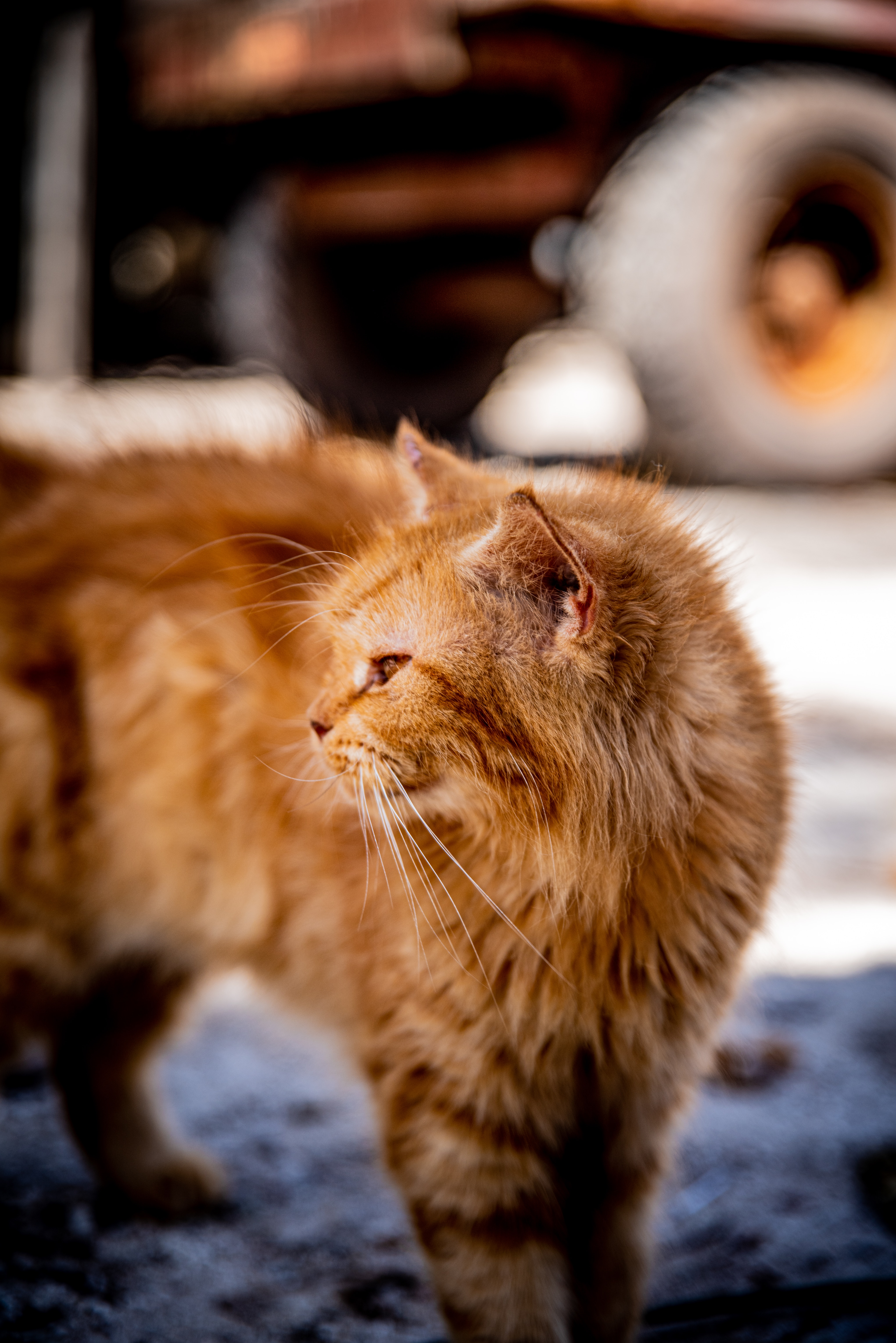 100337 download wallpaper Animals, Cat, Redhead, Fluffy, Pet screensavers and pictures for free
