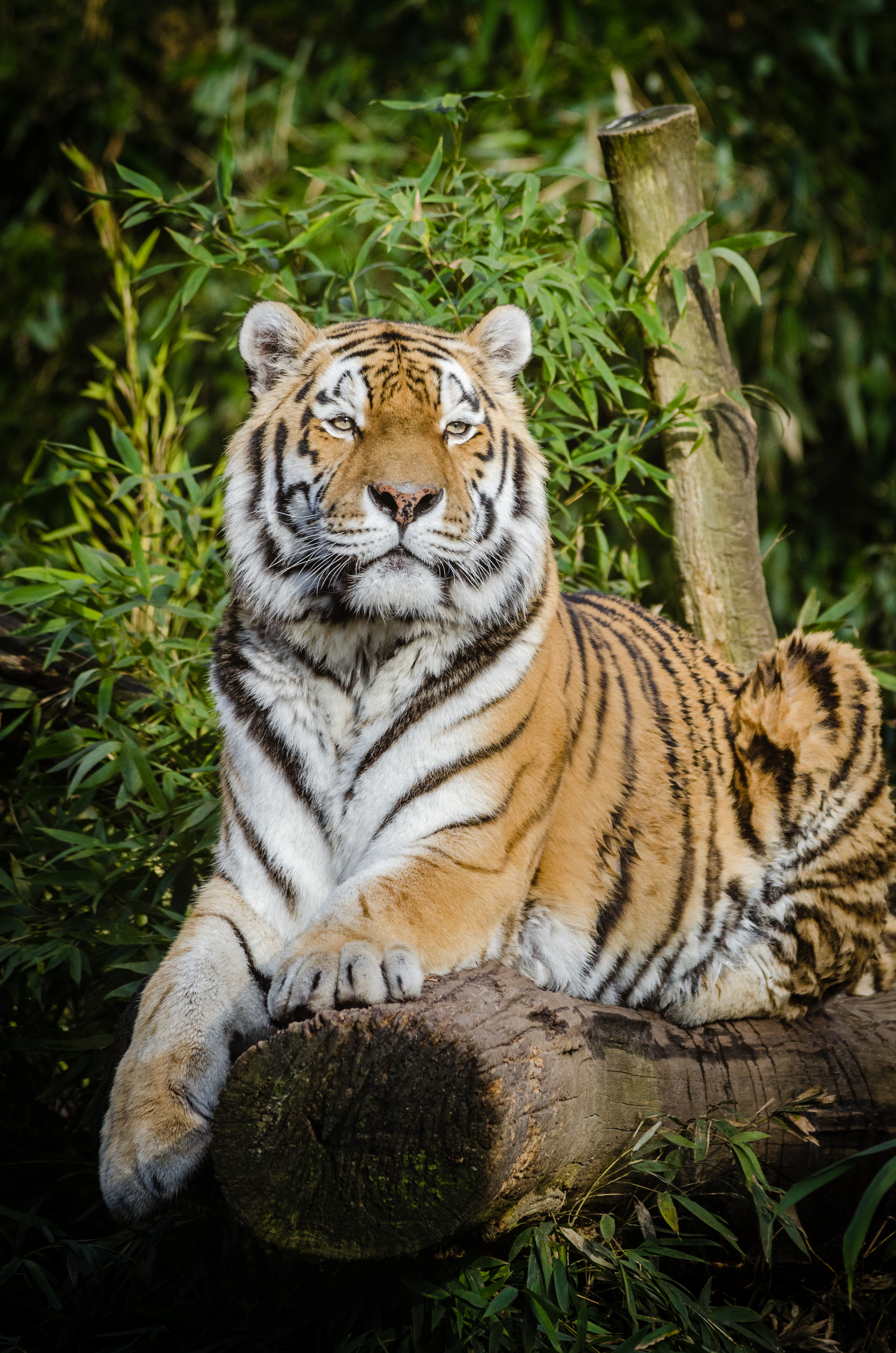 111666 download wallpaper Animals, Siberian Tiger, Tiger, Big Cat, Lies, Wildlife screensavers and pictures for free