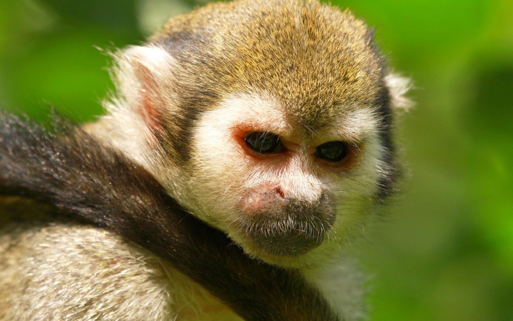 54376 download wallpaper Animals, Monkey, Muzzle, Eyes, Sight, Opinion, Tail, Background screensavers and pictures for free
