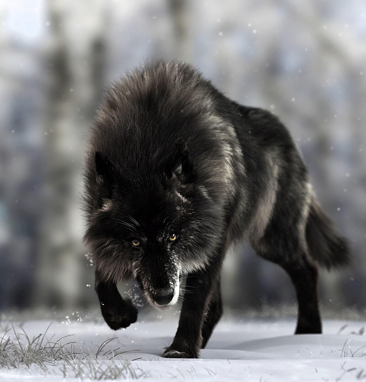 151423 Lade kostenlos Schwarz Hintergrundbilder für dein Handy herunter, Wolf, Tiere, Hund, Das Schwarze, Raubtier, Predator, Wilde Natur, Wildlife Schwarz Bilder und Bildschirmschoner für dein Handy