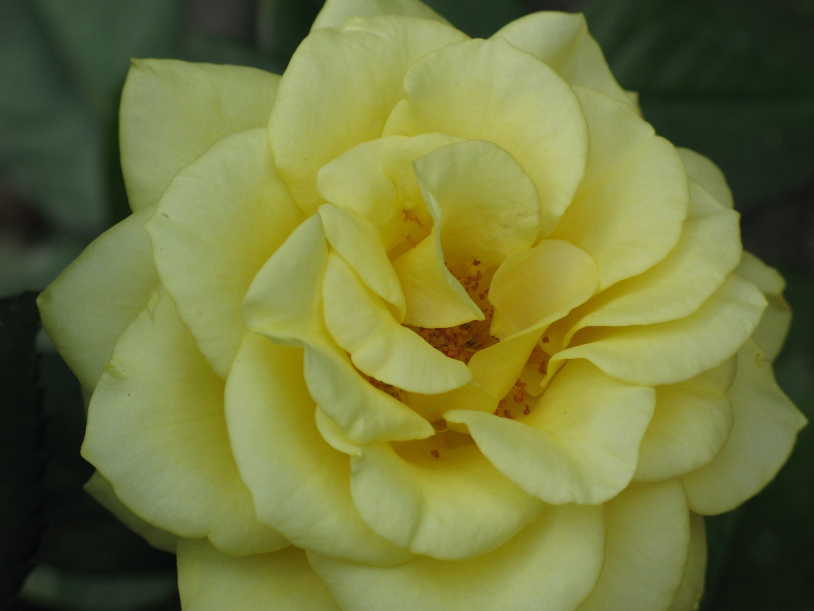 8865 скачать обои Растения, Цветы, Розы - заставки и картинки бесплатно